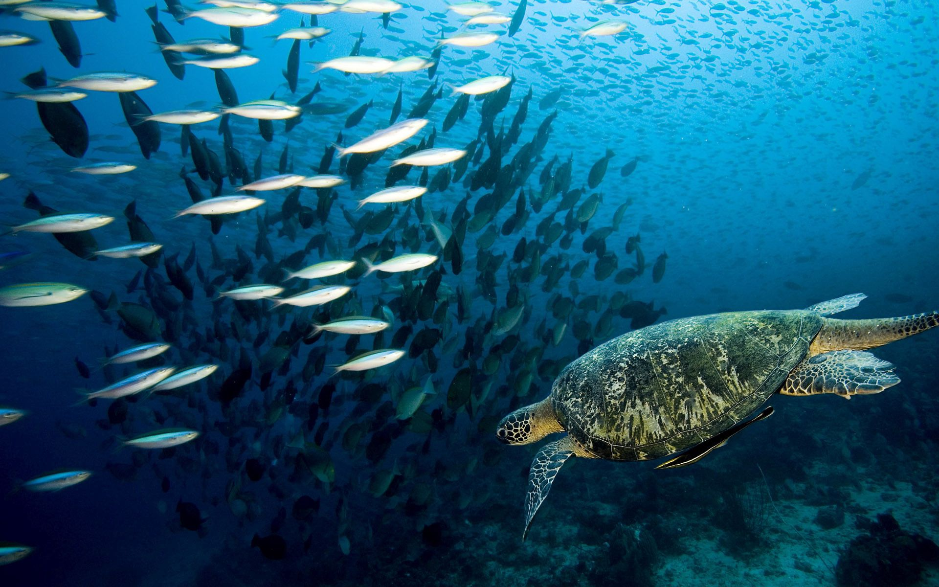 138955 download wallpaper Animals, Turtle, Underwater World, To Swim, Swim, Sea, Ocean, Fishes screensavers and pictures for free