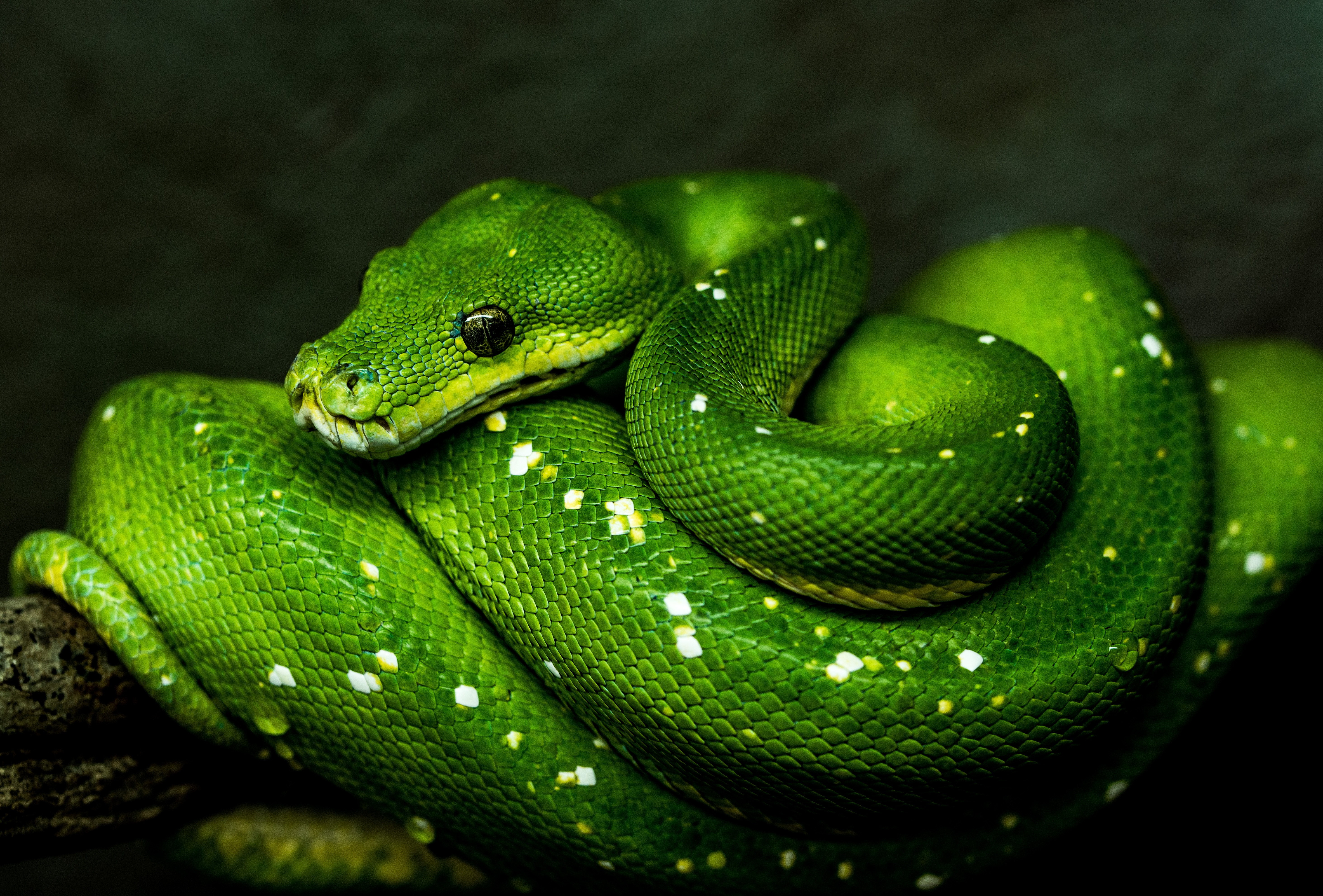 132497 Screensavers and Wallpapers Snake for phone. Download Animals, Wildlife, Reptile, Snake pictures for free