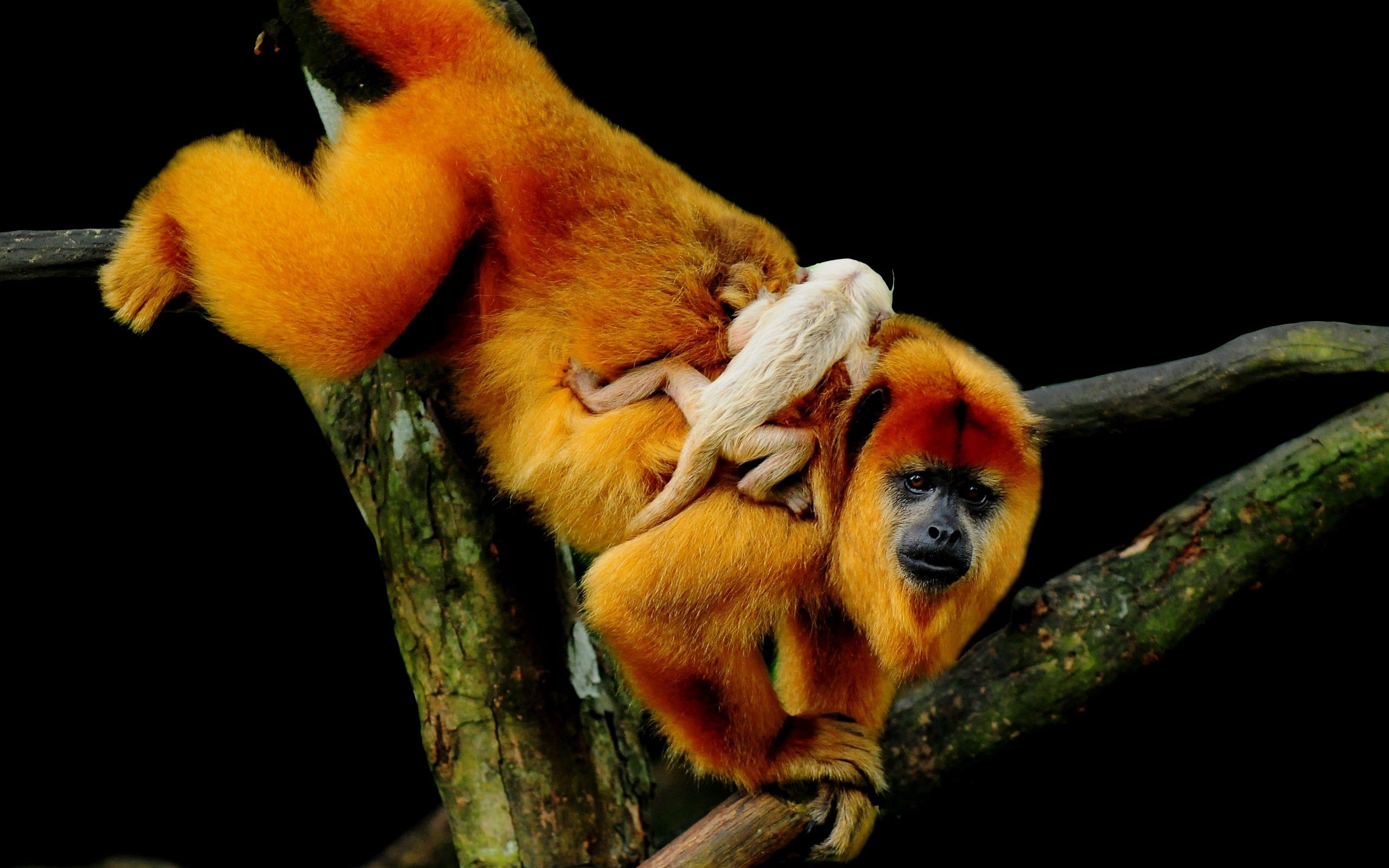 54510 Screensavers and Wallpapers Monkeys for phone. Download Animals, Monkeys, Wood, Young, Tree, Joey, Climb pictures for free