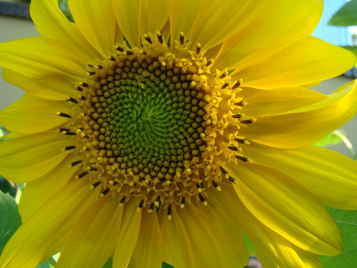 43255 скачать обои Растения, Цветы, Подсолнухи - заставки и картинки бесплатно