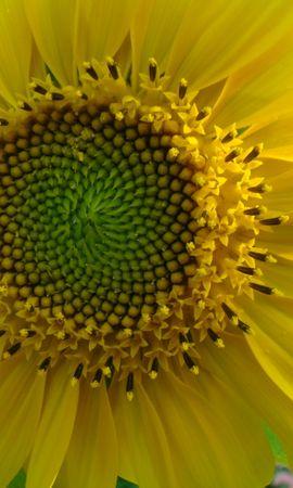 43255 télécharger le fond d'écran Plantes, Fleurs, Tournesols - économiseurs d'écran et images gratuitement