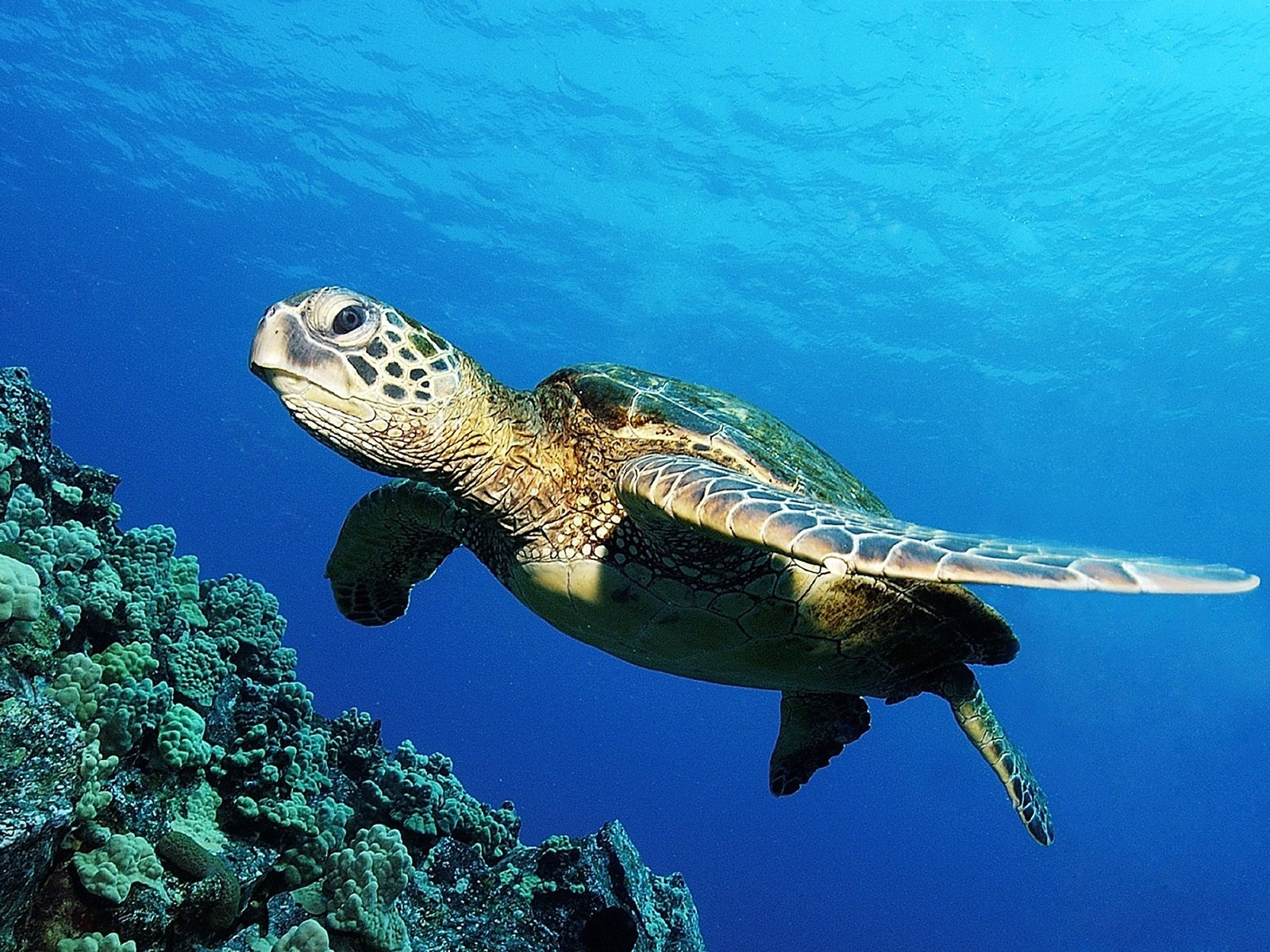 2684 download wallpaper Animals, Turtles, Sea screensavers and pictures for free