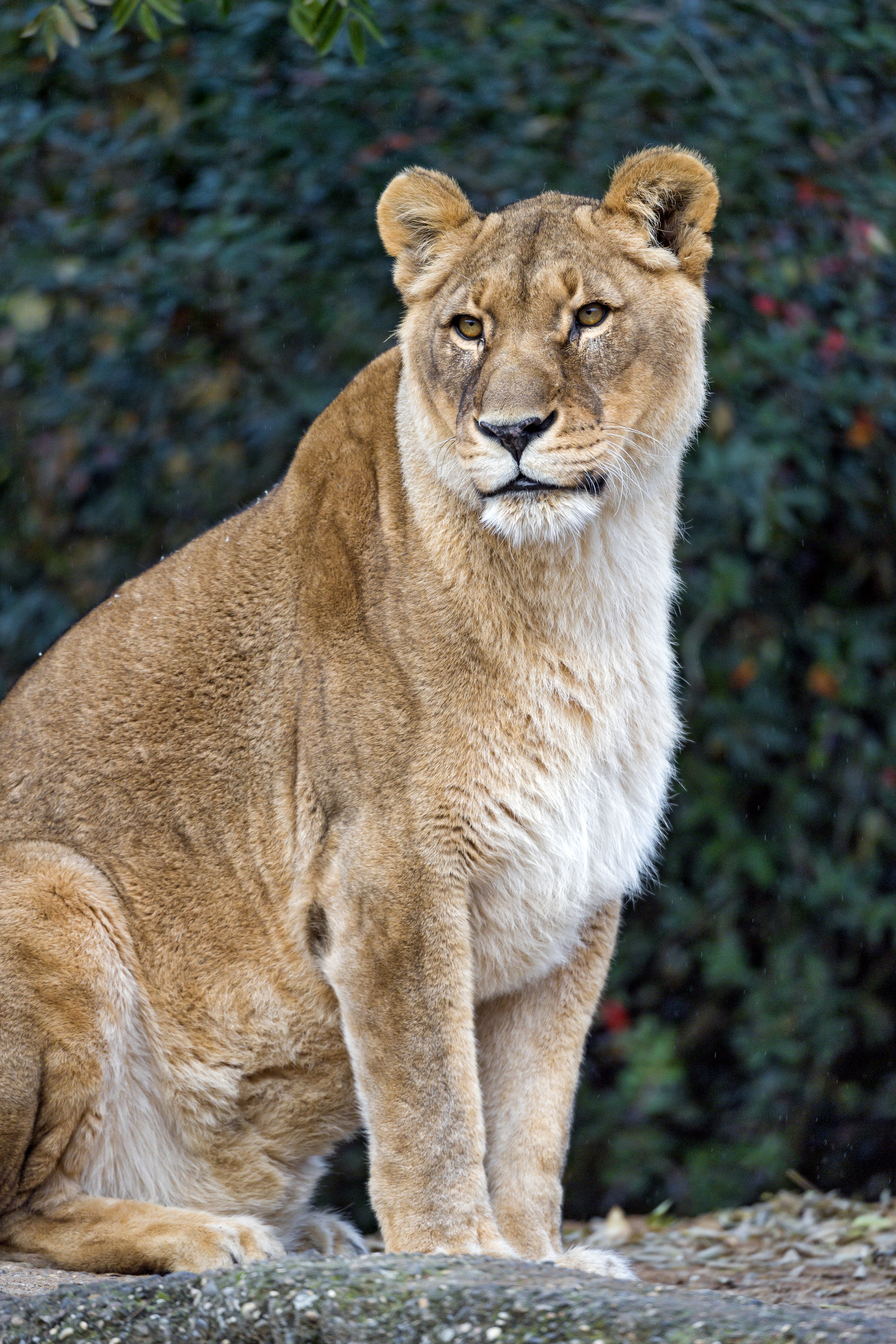 124822 download wallpaper Animals, Lioness, Big Cat, Predator, Animal, Sight, Opinion screensavers and pictures for free