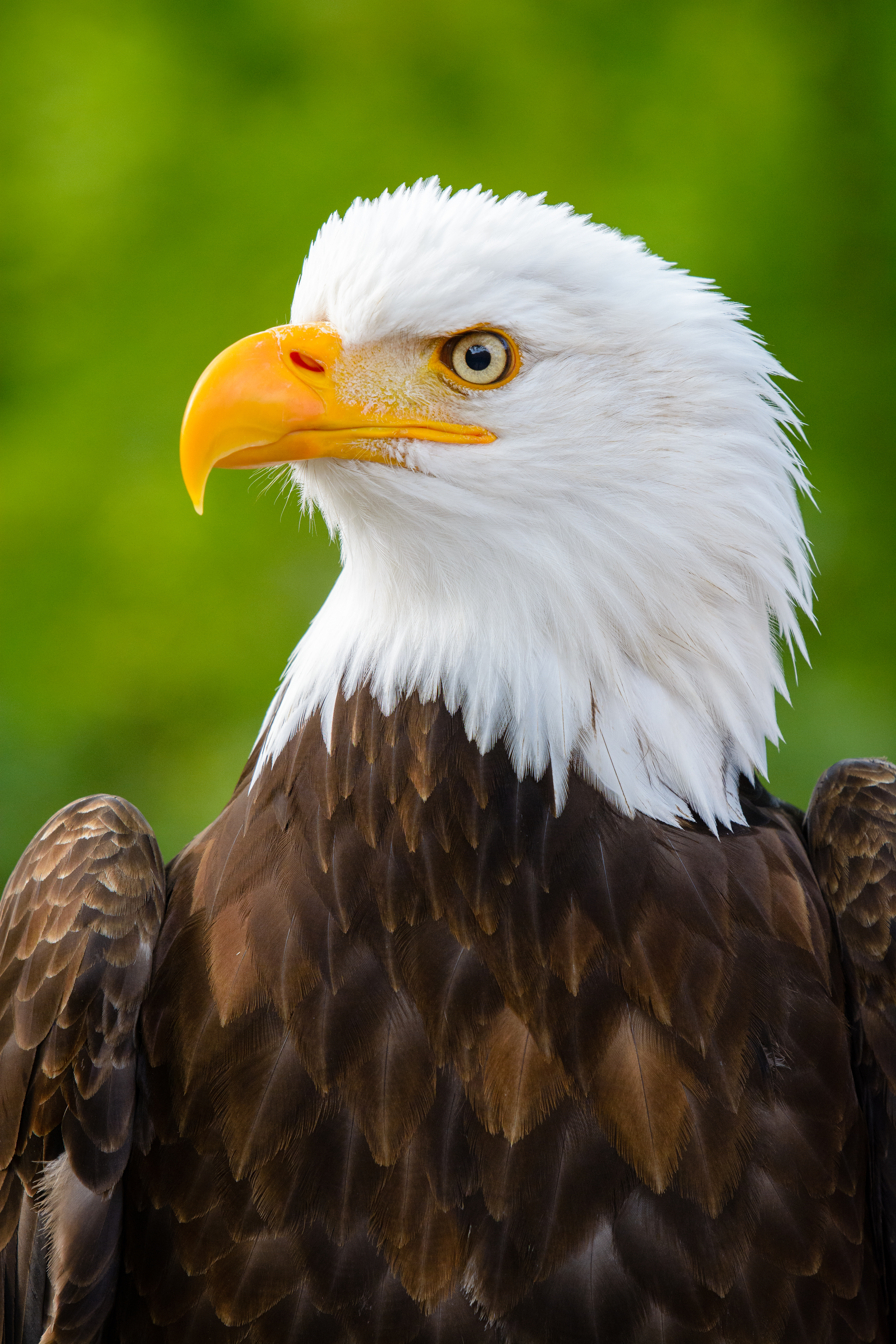 108785 download wallpaper Animals, Eagle, Bird, Predator, Sight, Opinion, Beak, Profile screensavers and pictures for free