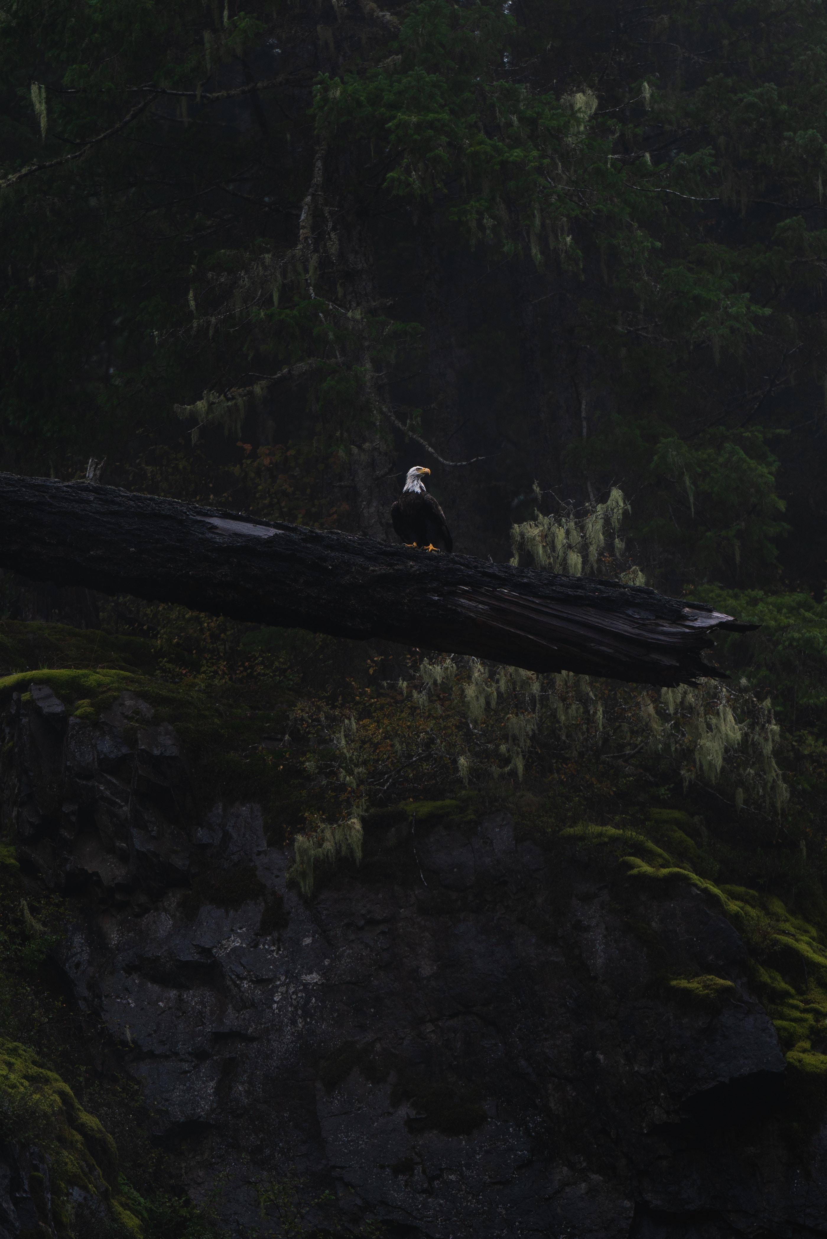 117571 скачать обои Животные, Орел, Птица, Дерево, Темный, Дикая Природа - заставки и картинки бесплатно