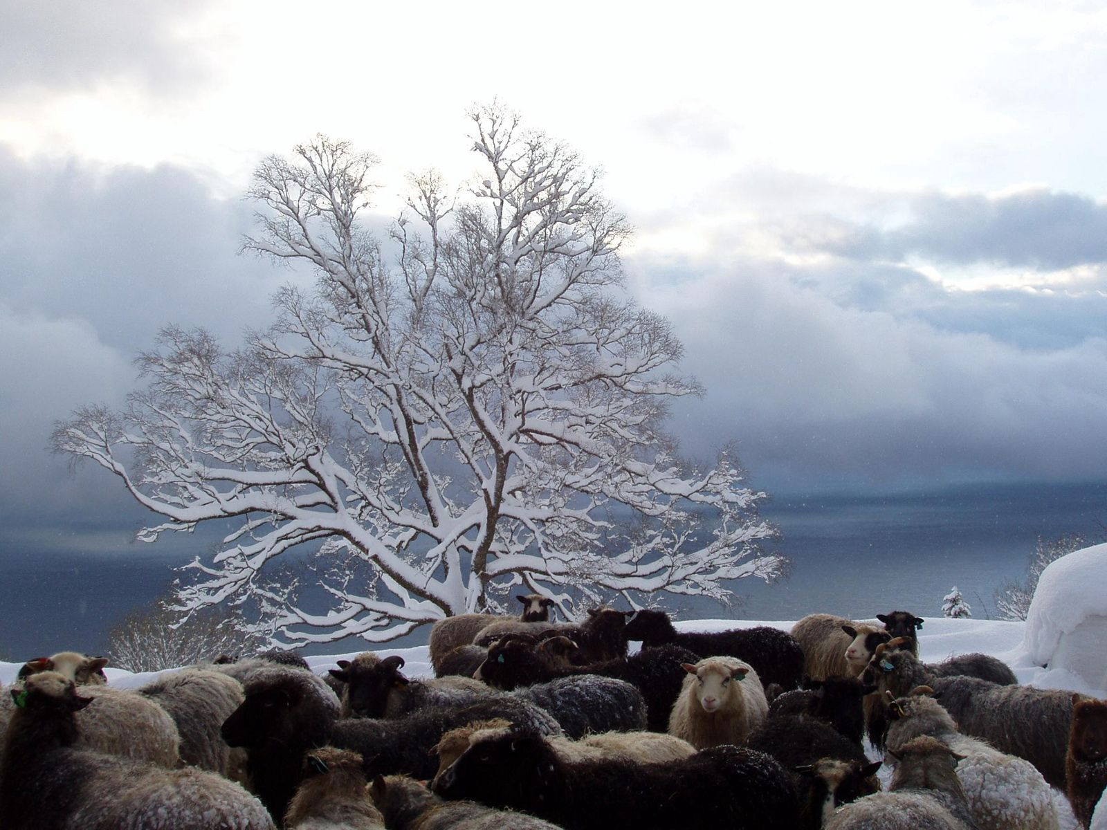 94568 Screensavers and Wallpapers Sheep for phone. Download Winter, Nature, Wood, Tree, Herd, Sheep, Sheeps pictures for free