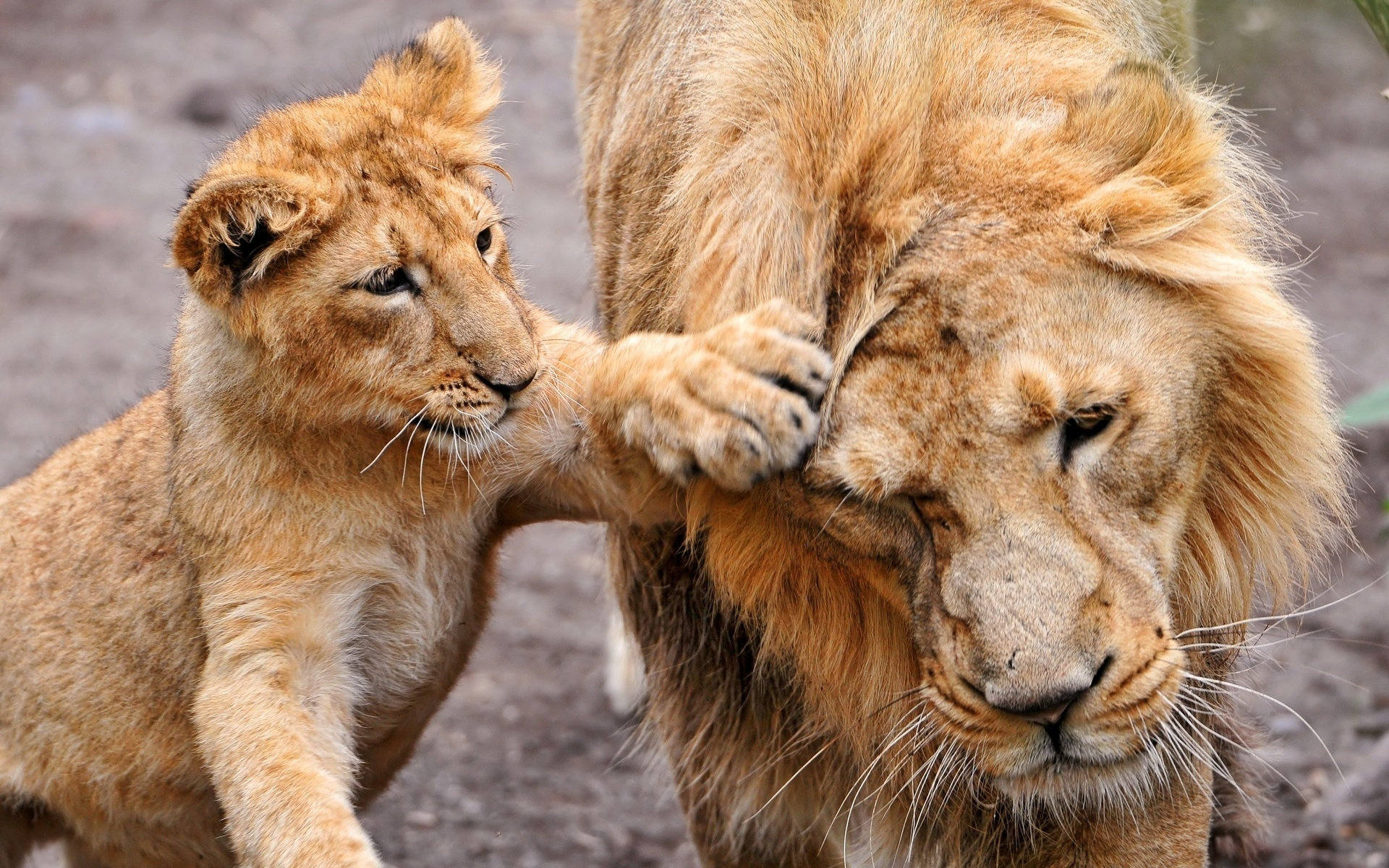 45737 download wallpaper Animals, Tigers screensavers and pictures for free