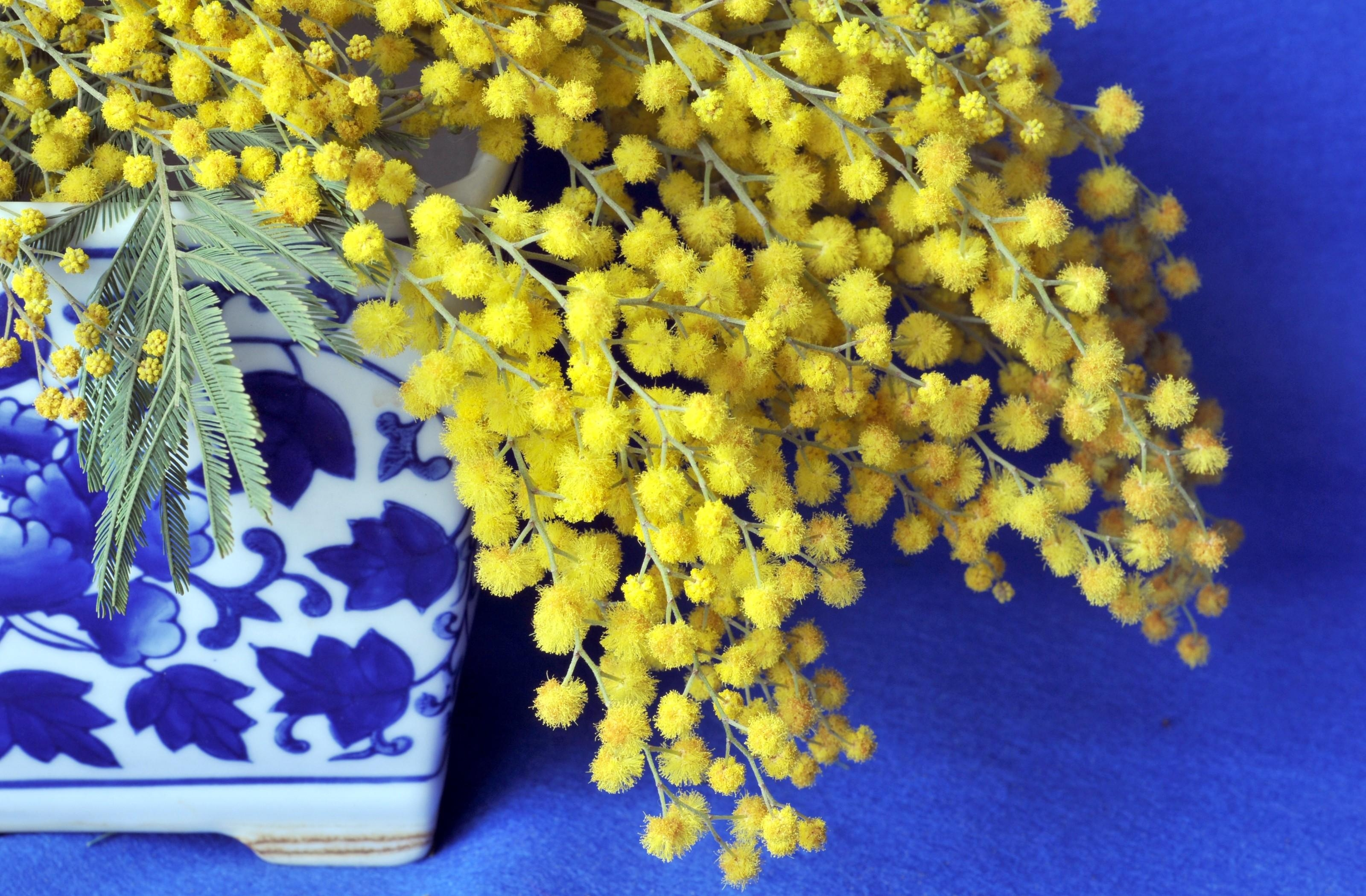 146786 download wallpaper Flowers, Mimosa, Branch, Fluffy, Porcelain screensavers and pictures for free