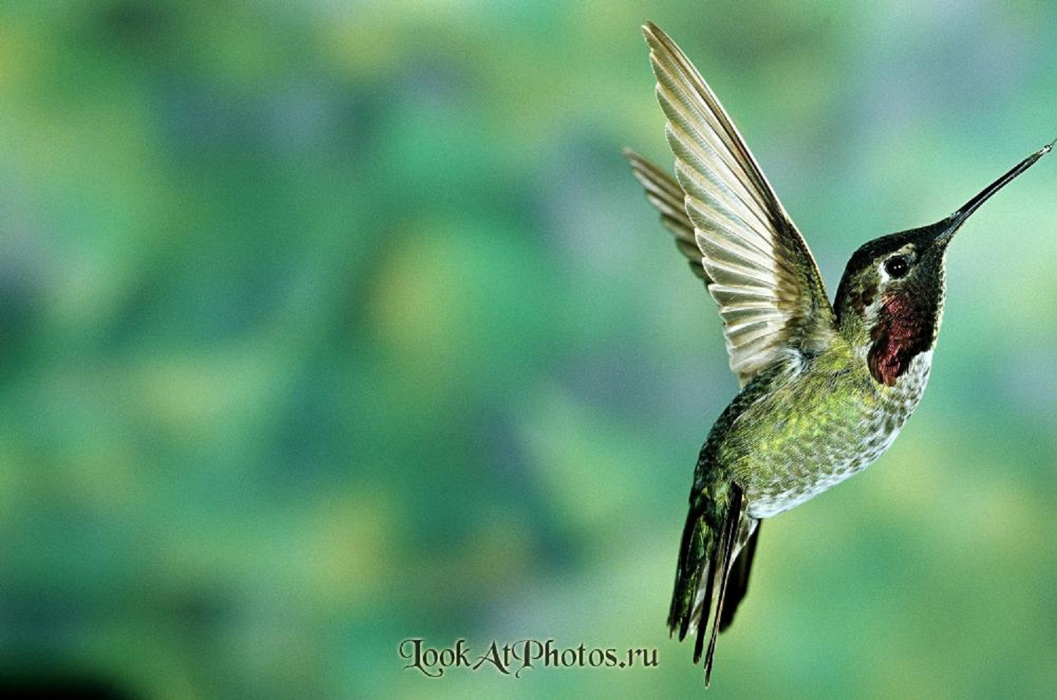 17834 download wallpaper Animals, Birds, Humming-Birds screensavers and pictures for free