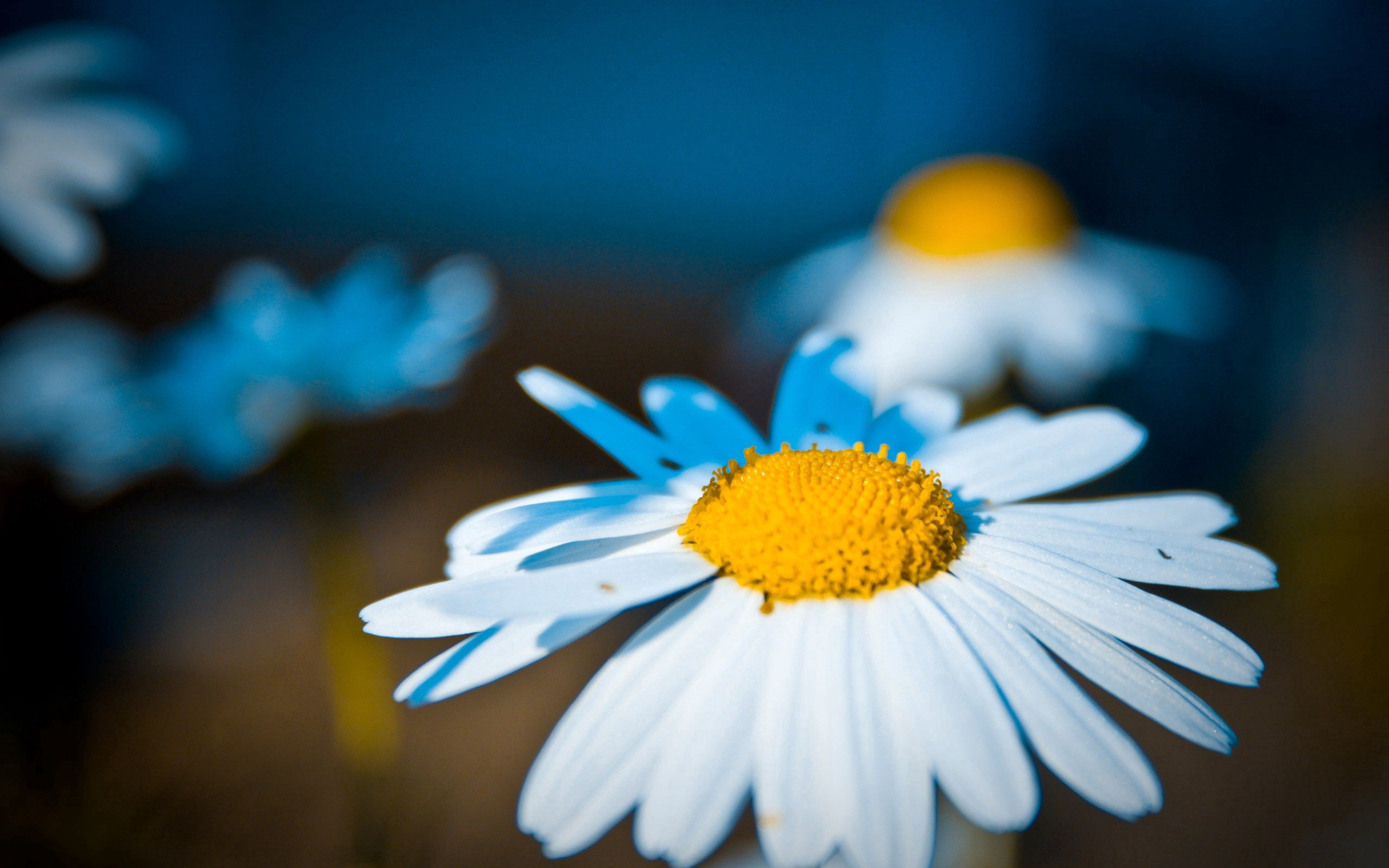 116660 download wallpaper Macro, Chamomile, Camomile, Flower, Shine, Light, Petals screensavers and pictures for free
