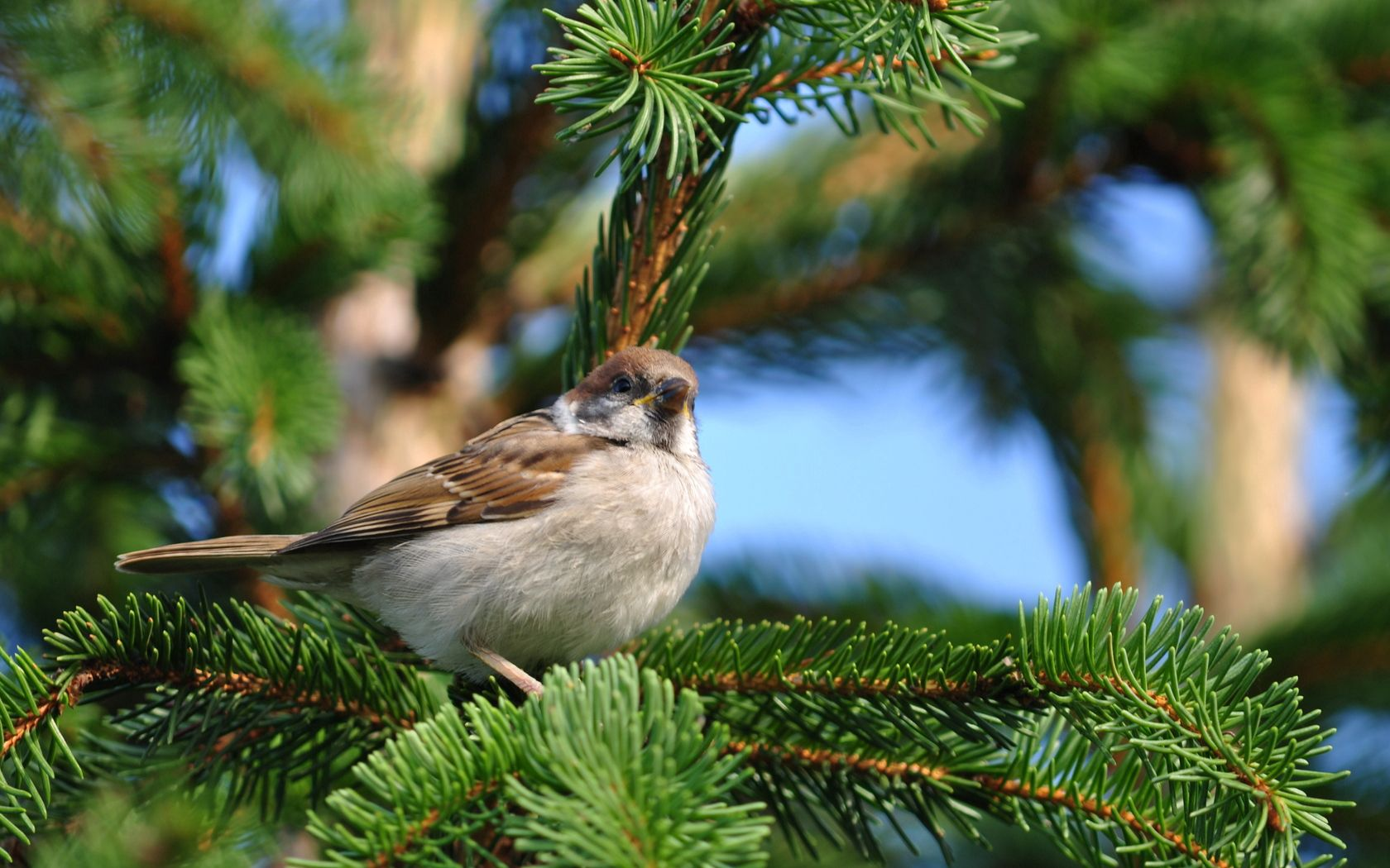 50754 download wallpaper Bird, Animals, Sit, Sparrow, Branch, Spruce, Fir screensavers and pictures for free