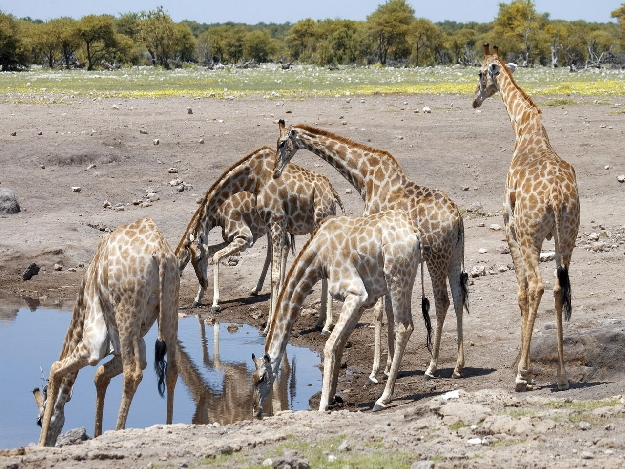 44845 download wallpaper Animals, Giraffes screensavers and pictures for free