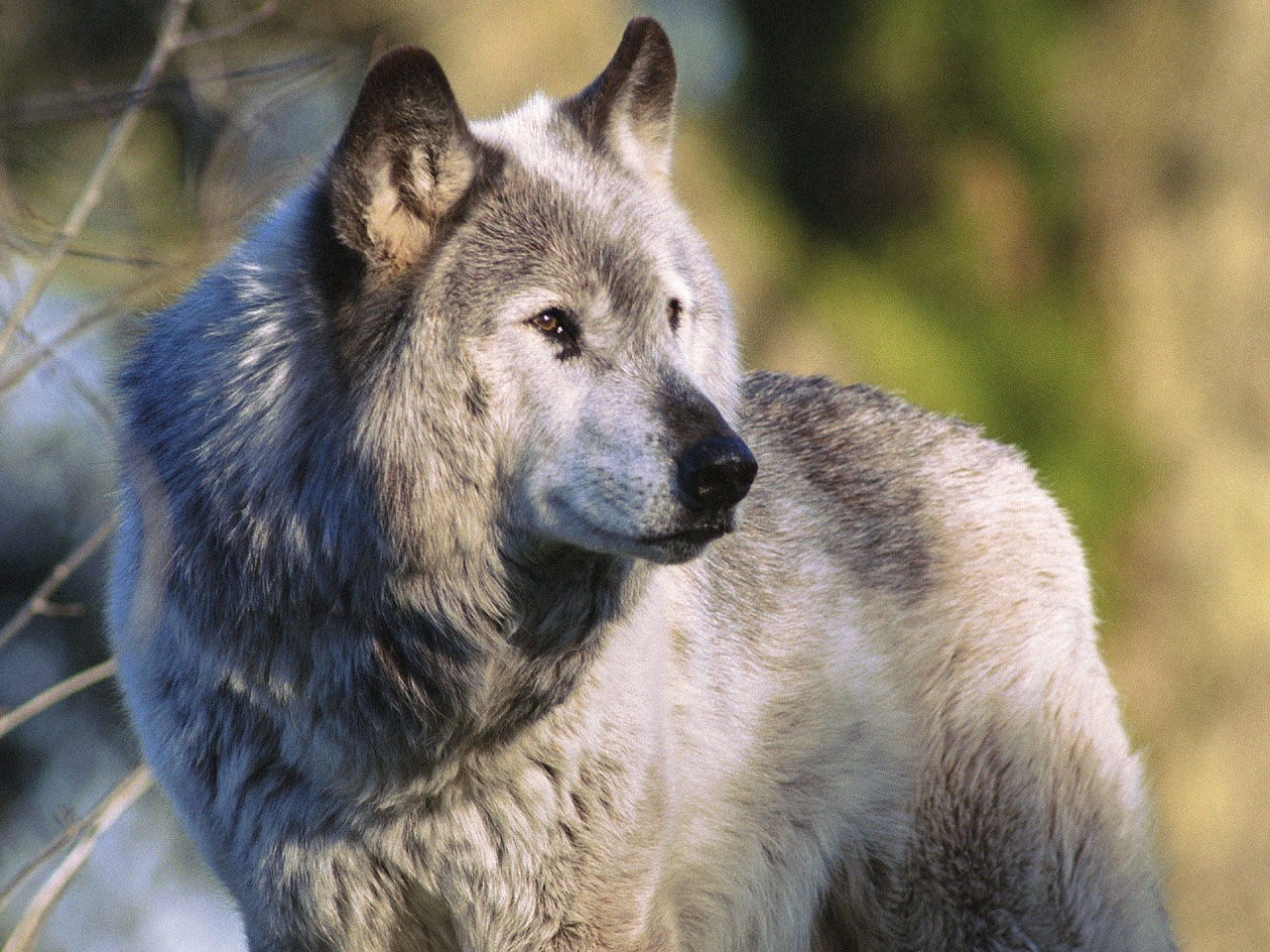 40856 download wallpaper Animals, Wolfs screensavers and pictures for free