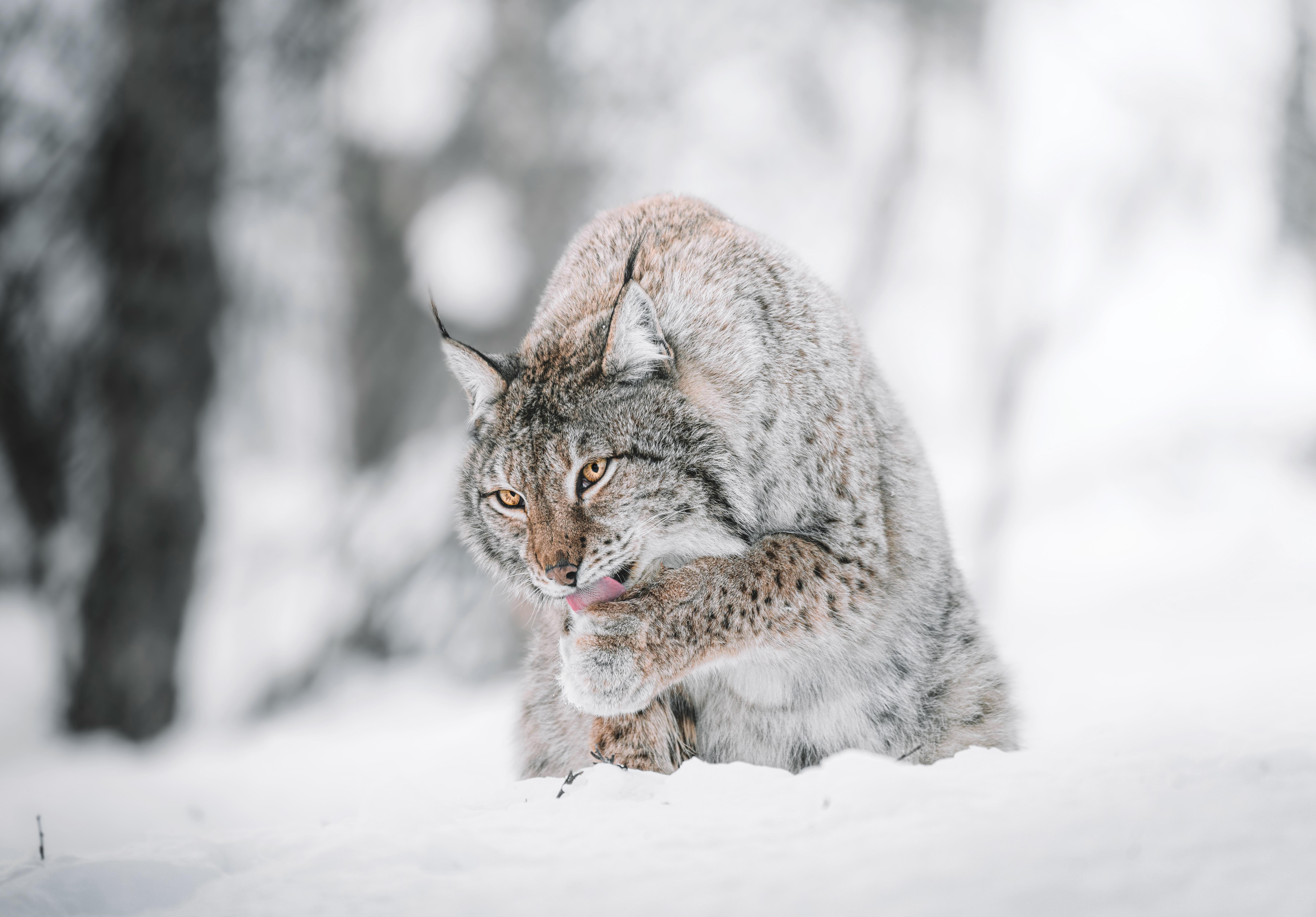 152758 скачать обои Животные, Ирис, Большая Кошка, Высунутый Язык, Снег, Дикая Природа - заставки и картинки бесплатно