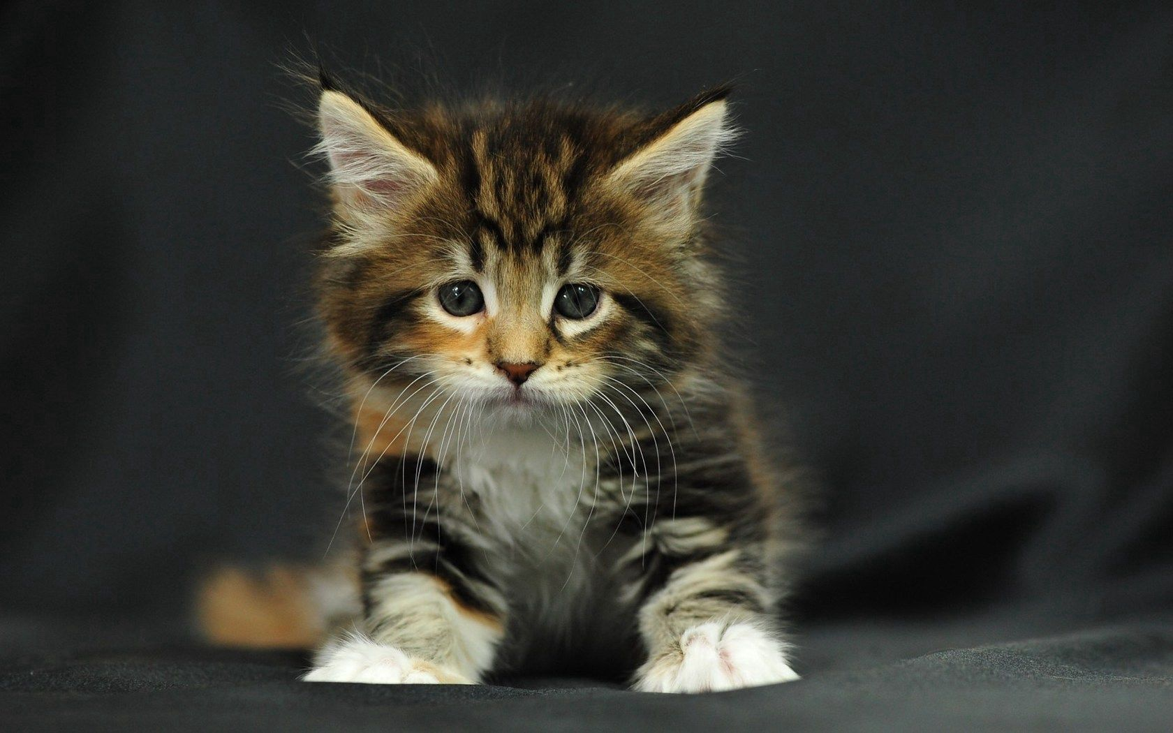 61266 download wallpaper Animals, Kitty, Kitten, Spotted, Spotty, Fluffy, Kid, Tot screensavers and pictures for free