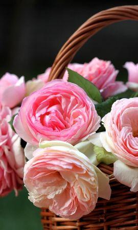 15741 descargar fondo de pantalla Plantas, Flores, Roses: protectores de pantalla e imágenes gratis