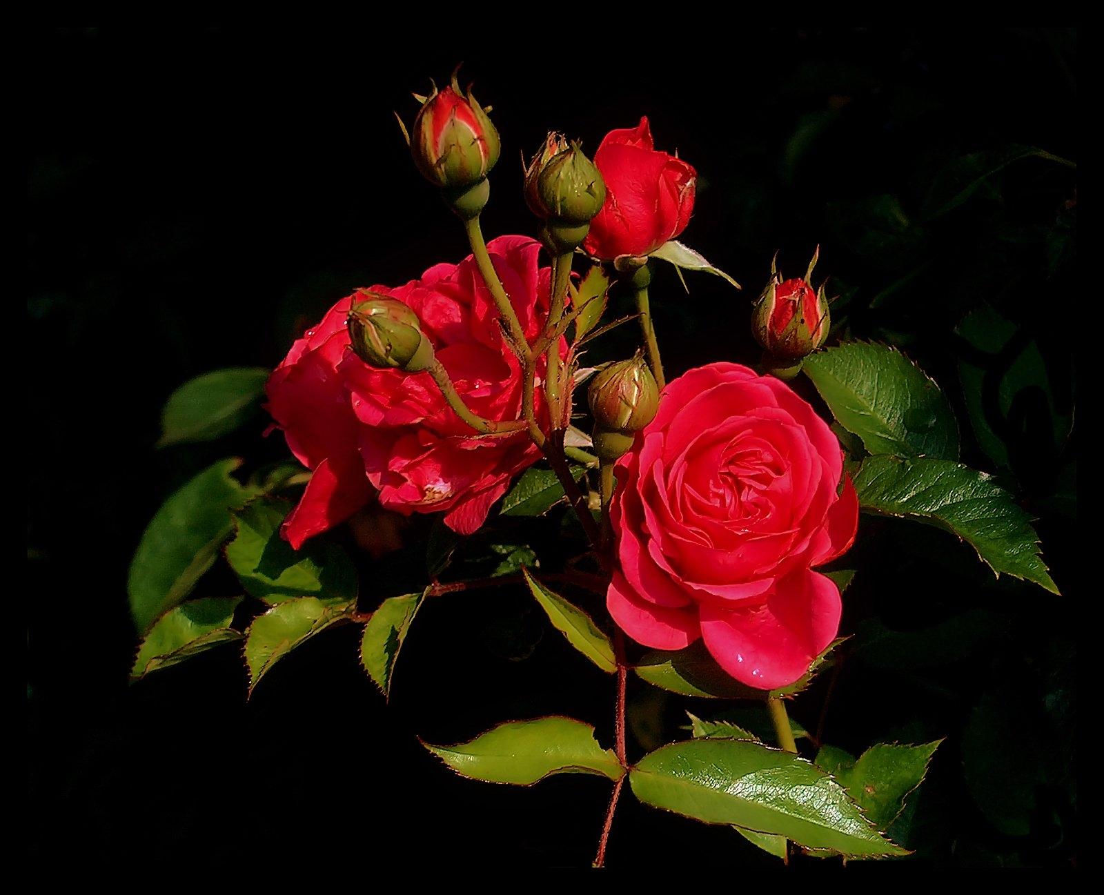 123566 скачать обои Розы, Цветы, Листья, Зелень, Бутоны, Кустовая - заставки и картинки бесплатно