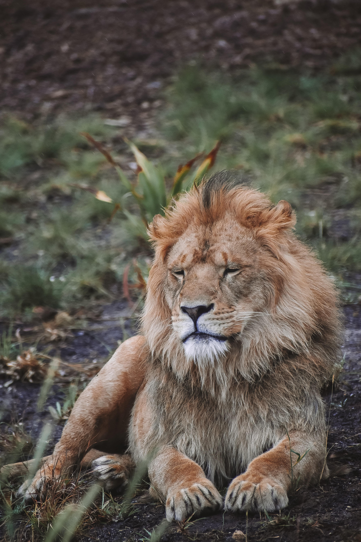 108652 скачать обои Животные, Лев, Хищник, Большая Кошка, Зверь, Дикая Природа - заставки и картинки бесплатно
