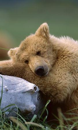 45440 baixar papel de parede Animais, Bears - protetores de tela e imagens gratuitamente