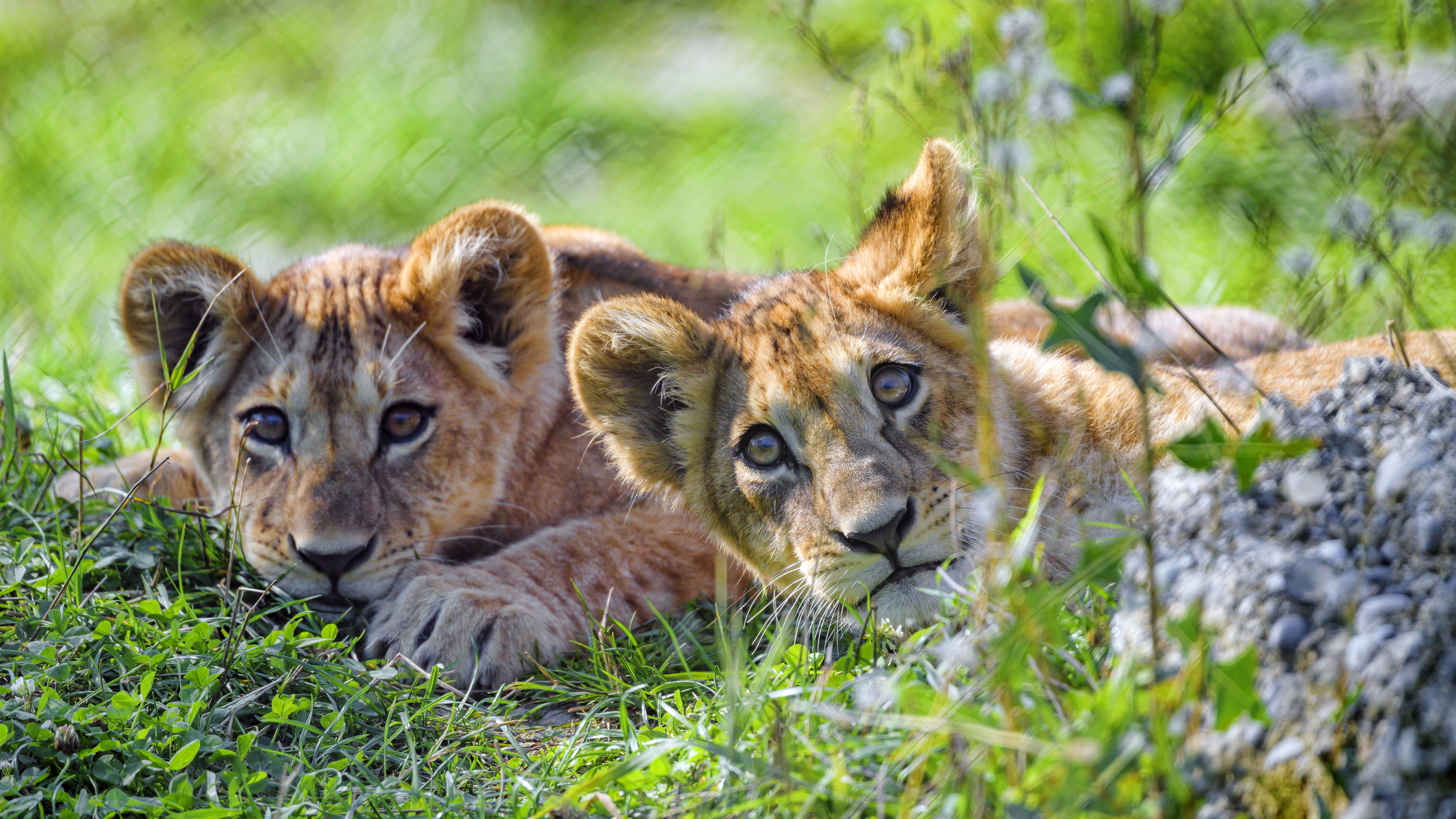 104675 download wallpaper Animals, Lion Cub, Lion, Young, Joey, Sight, Opinion, Predator, Funny screensavers and pictures for free