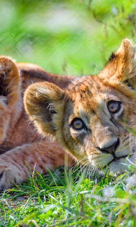 104675 Screensavers and Wallpapers Funny for phone. Download Animals, Lion Cub, Lion, Young, Joey, Sight, Opinion, Predator, Funny pictures for free
