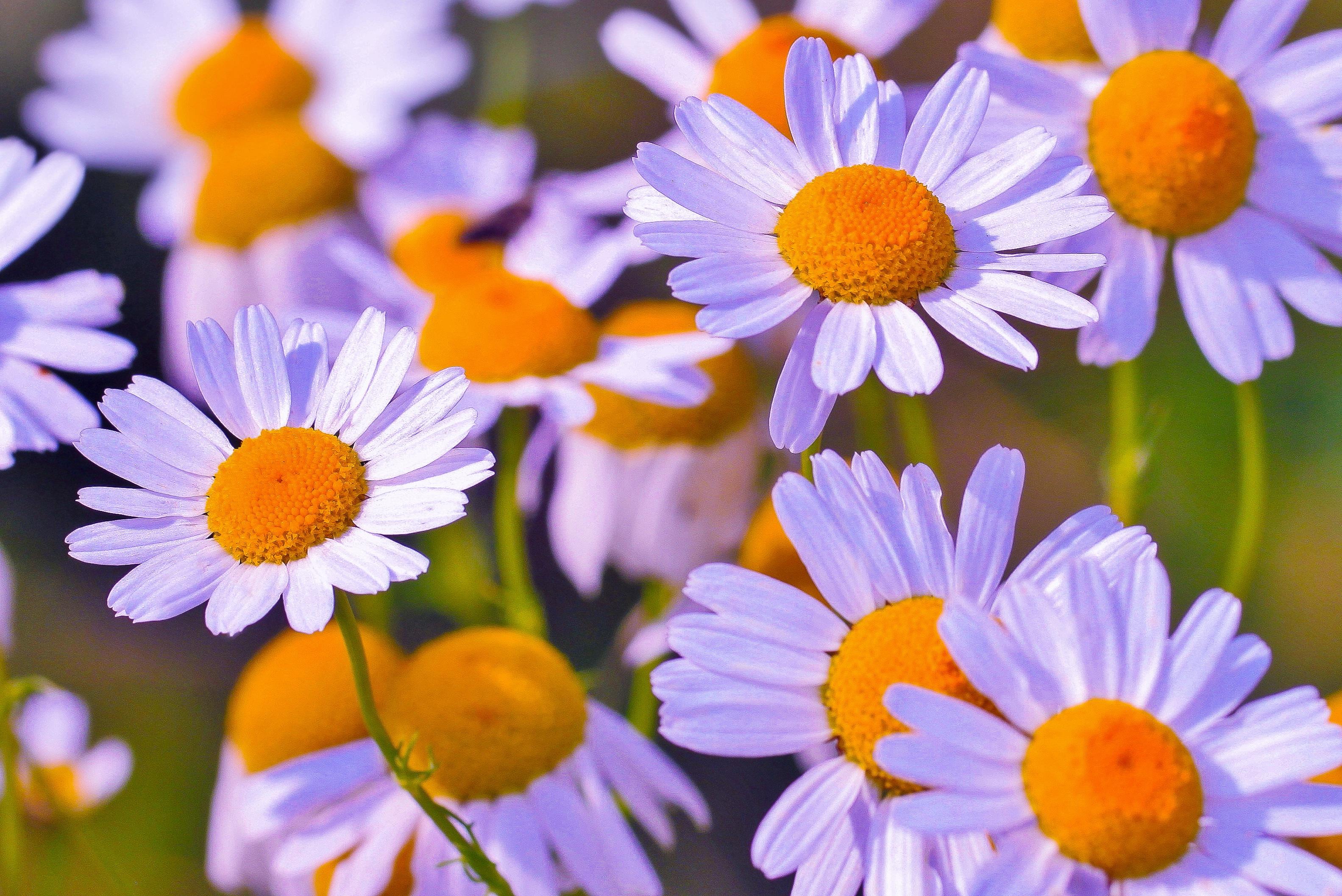 132798 Заставки и Обои Ромашки на телефон. Скачать Цветы, Ромашки, Лепестки, Бутоны картинки бесплатно