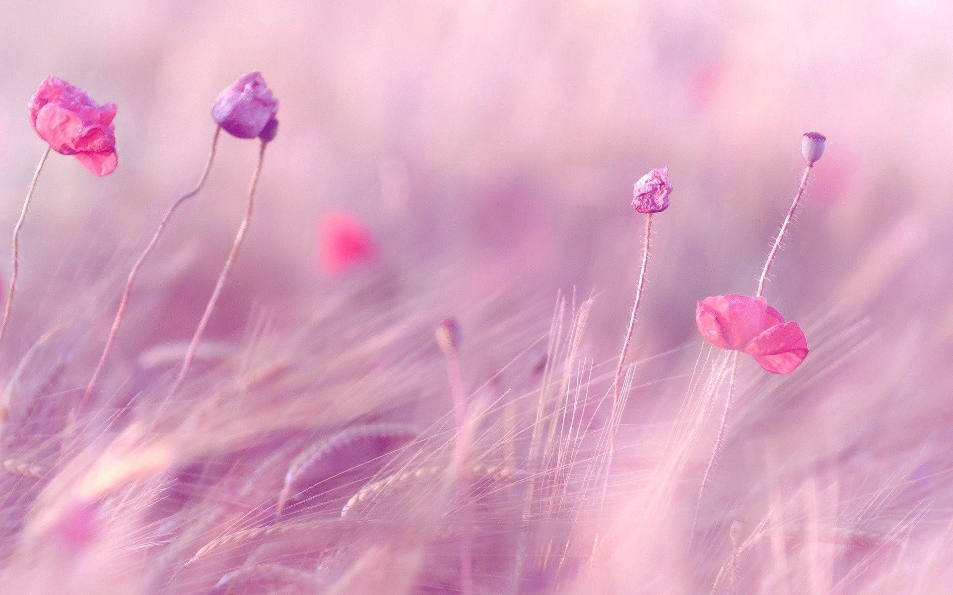 139743 скачать обои Цветы, Поле, Маки, Размытость, Ветер, Пшеница - заставки и картинки бесплатно