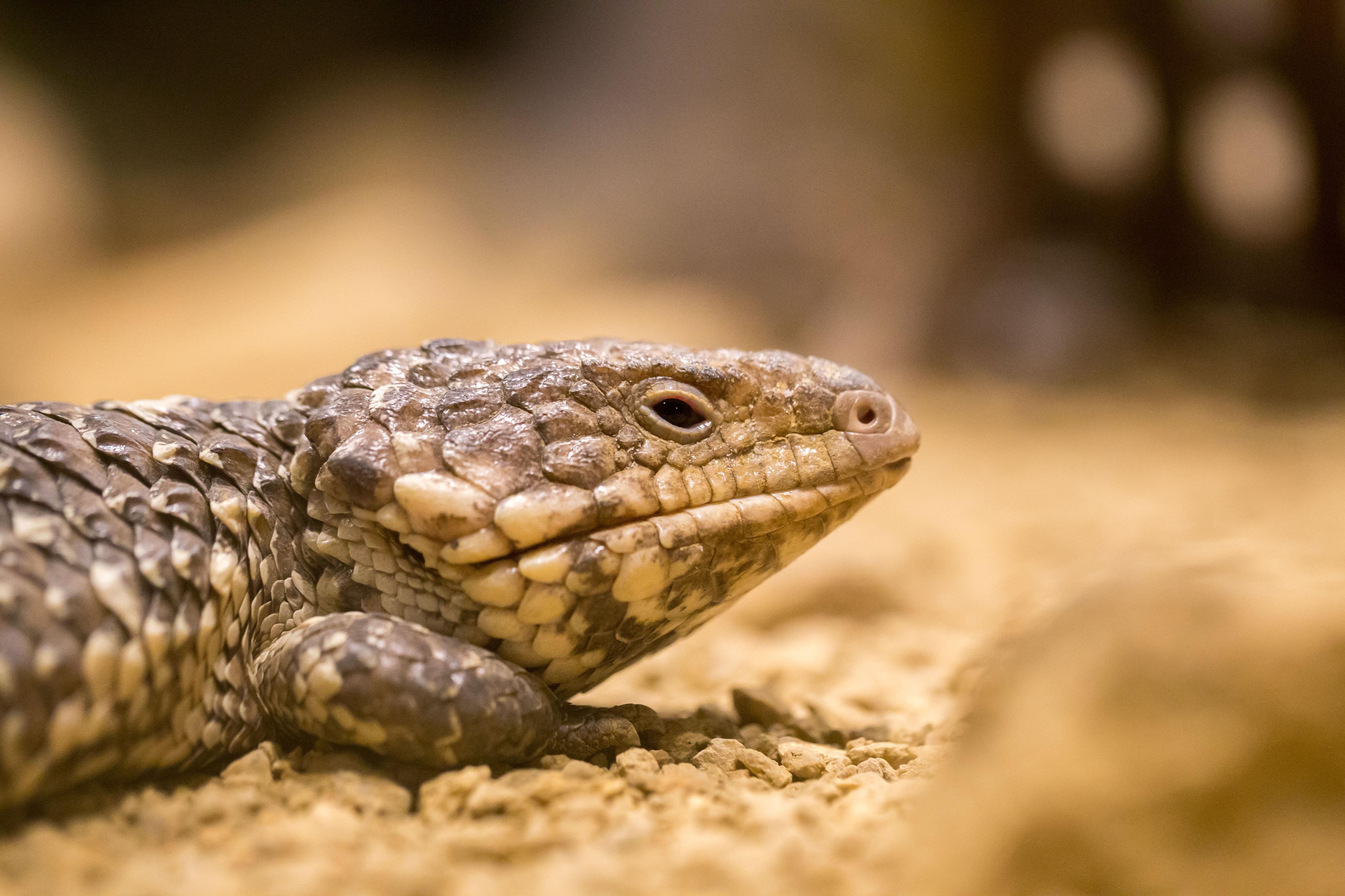 102798 Hintergrundbild herunterladen Tiere, Nahaufnahme, Farbe, Eidechse, Reptil, Reptile - Bildschirmschoner und Bilder kostenlos