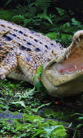 49826 baixar papel de parede Animais, Crocodiles - protetores de tela e imagens gratuitamente