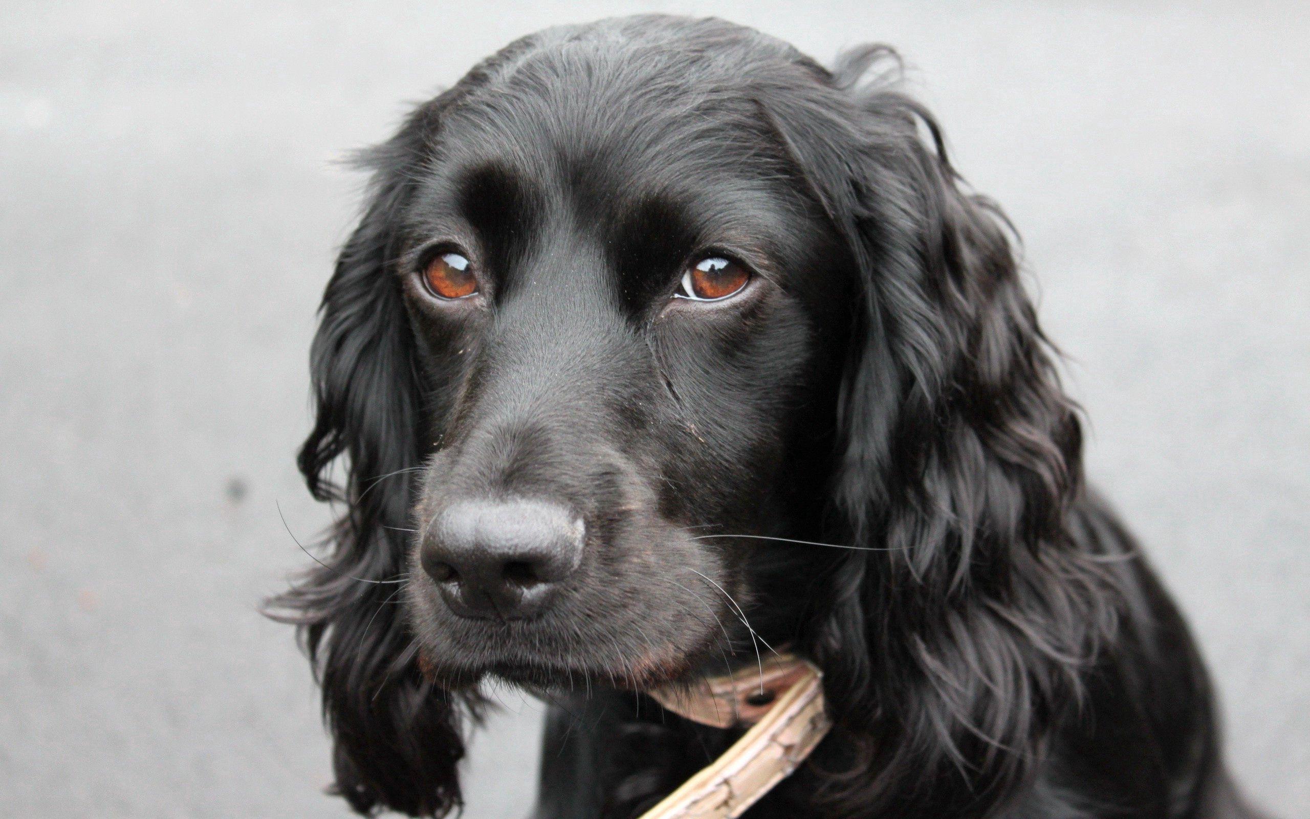 66331 Hintergrundbild herunterladen Hund, Tiere, Schnauze, Ohren, Eared - Bildschirmschoner und Bilder kostenlos