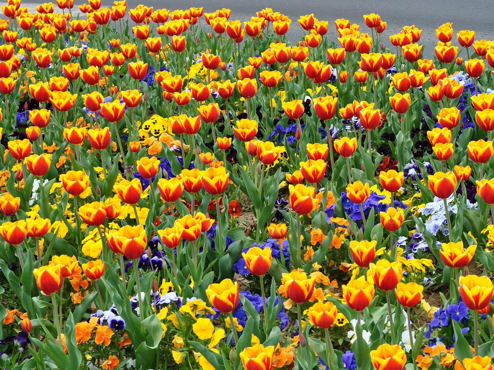 118027 скачать обои Цветы, Клумба, Улица, Тюльпаны, Анютины Глазки - заставки и картинки бесплатно