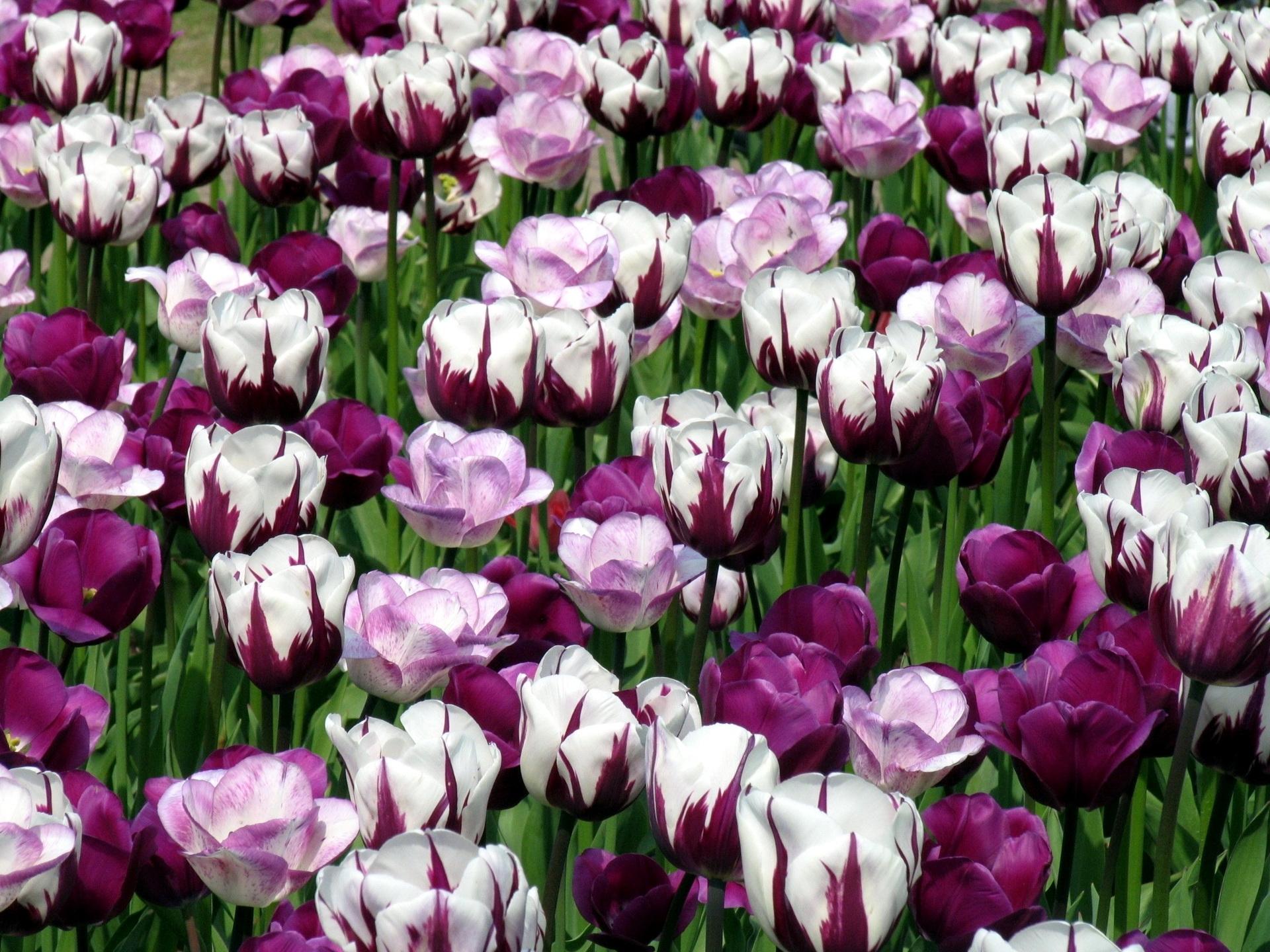 65688 скачать обои Тюльпаны, Цветы, Зелень, Клумба, Пестрые - заставки и картинки бесплатно