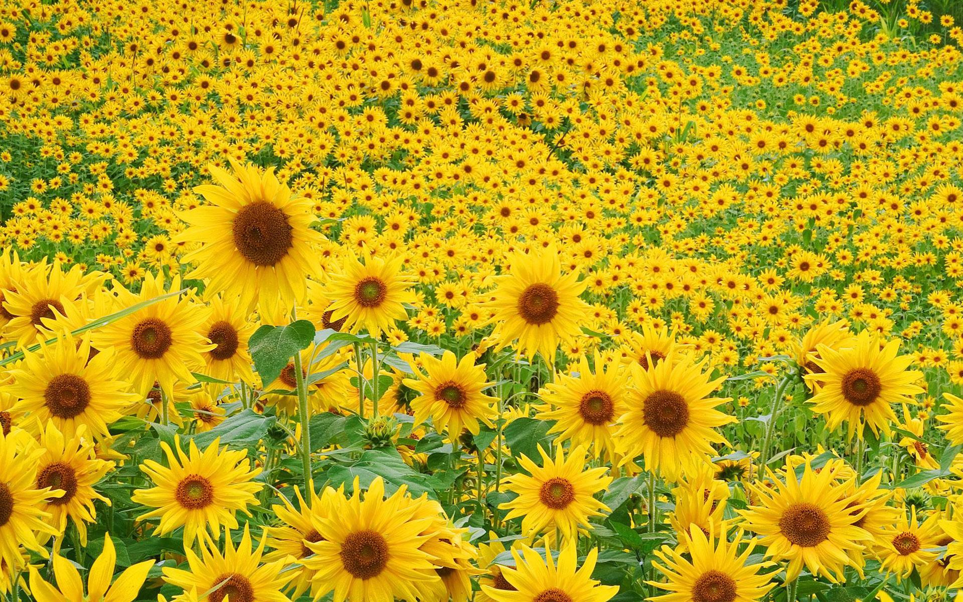 32296 免費下載壁紙 景观, 花卉, 领域, 向日葵 屏保和圖片