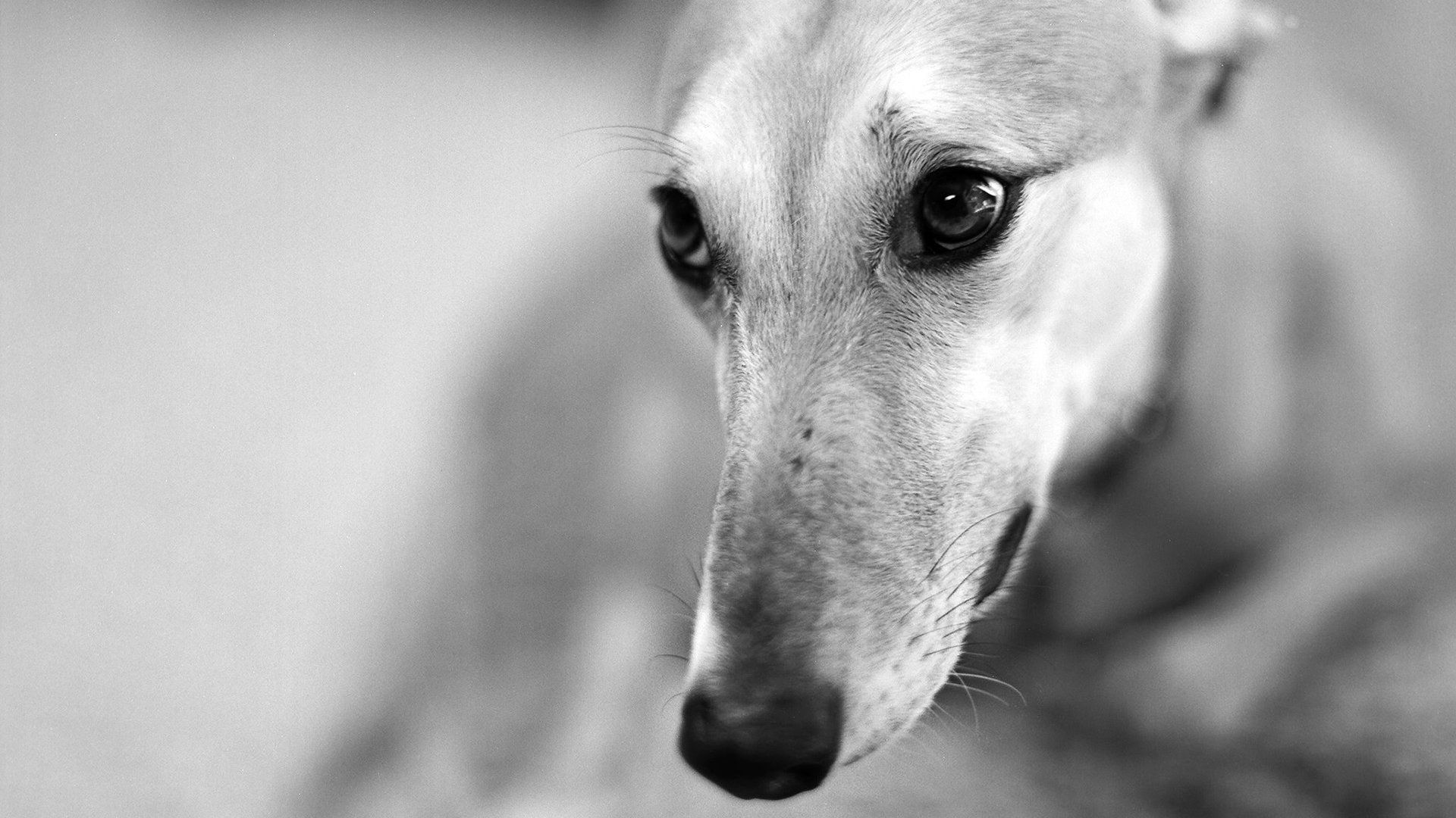 107359 download wallpaper Animals, Dog, Muzzle, Nose, Greased, Smeared, Bw, Chb screensavers and pictures for free