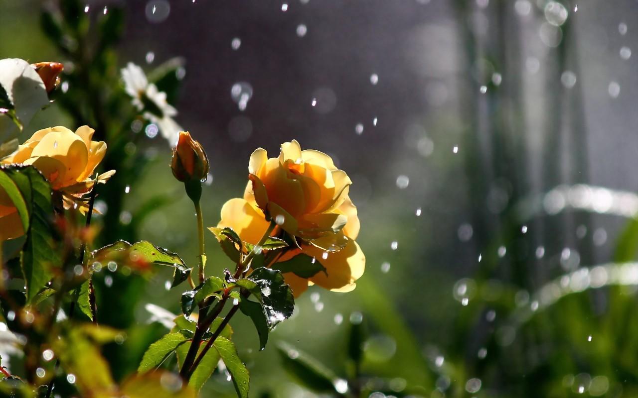 22825 télécharger le fond d'écran Plantes, Fleurs, Roses, Drops - économiseurs d'écran et images gratuitement