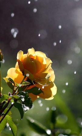 22825 скачать обои Растения, Цветы, Розы, Капли - заставки и картинки бесплатно