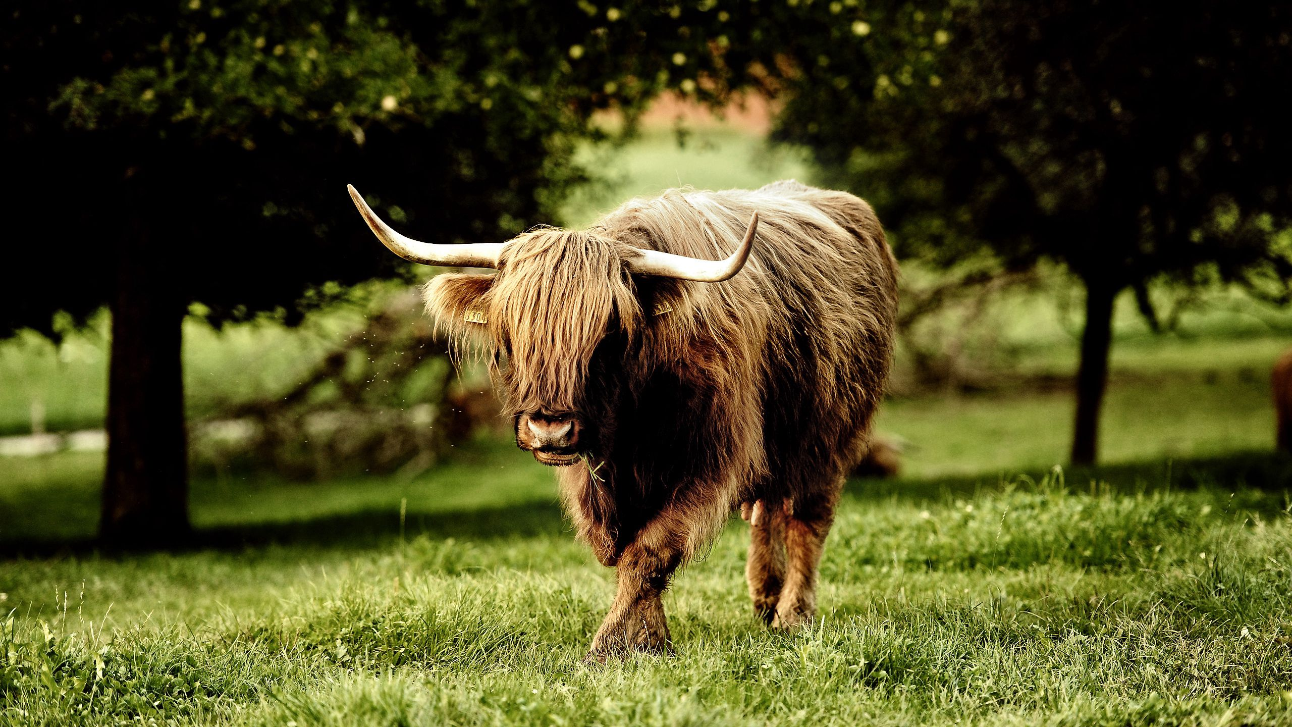 72775 download wallpaper Animals, Buffalo, Bull, Grass, Stroll, Horns screensavers and pictures for free
