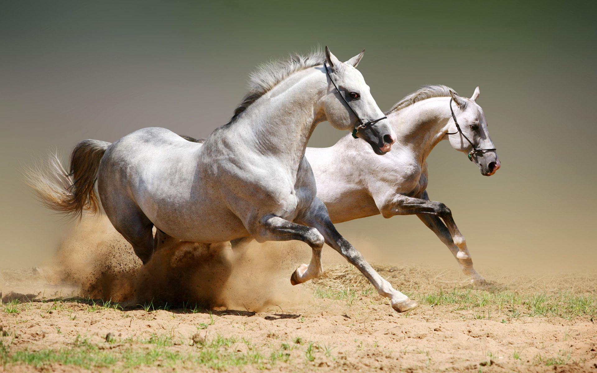 111160 Protetores de tela e papéis de parede Cavalos em seu telefone. Baixe Cavalos, Animais, Casal, Par, Pó, Pulando, Salto fotos gratuitamente