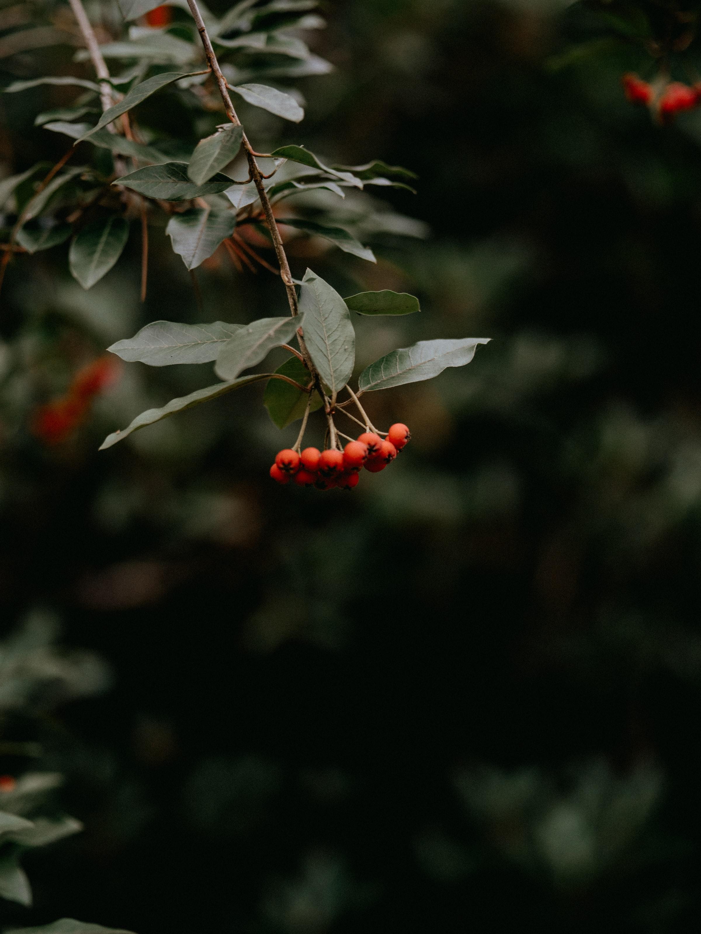 99976 скачать обои Ягоды, Растение, Макро, Красный, Гроздь, Рябина - заставки и картинки бесплатно