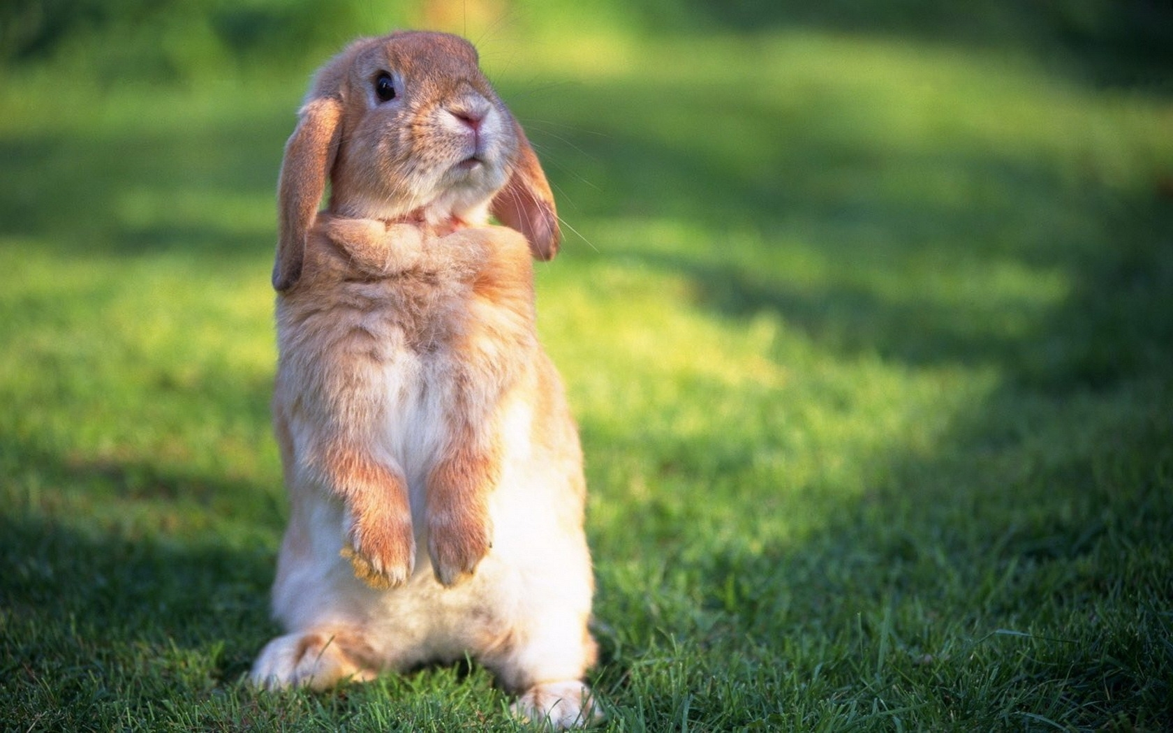49276 Screensavers and Wallpapers Rabbits for phone. Download Animals, Rabbits pictures for free