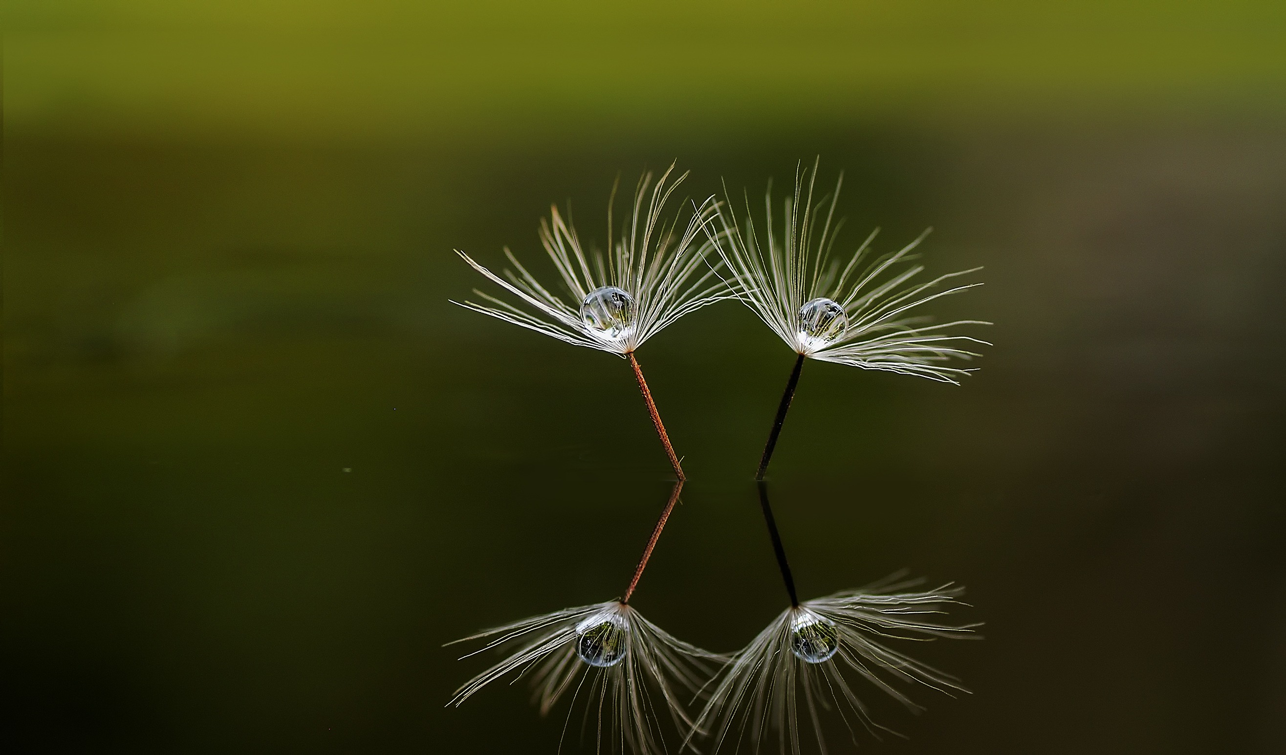 148247 free wallpaper 1080x2340 for phone, download images Drops, Reflection, Macro, Dandelion, Fluff, Fuzz 1080x2340 for mobile