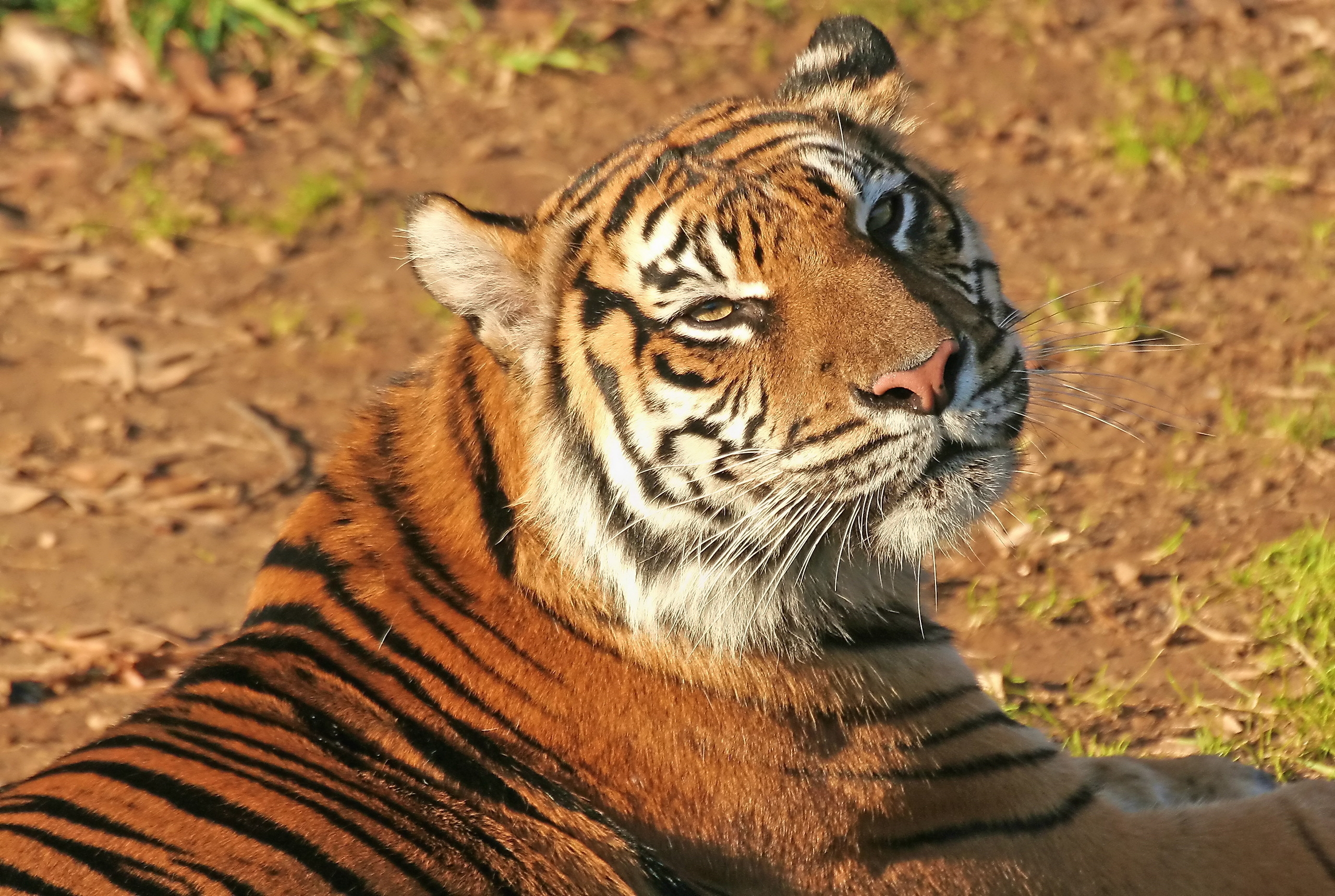 76285 download wallpaper Animals, Tiger, Muzzle, Striped, Predator screensavers and pictures for free