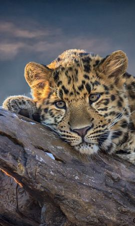 19013 download wallpaper Animals, Leopards screensavers and pictures for free