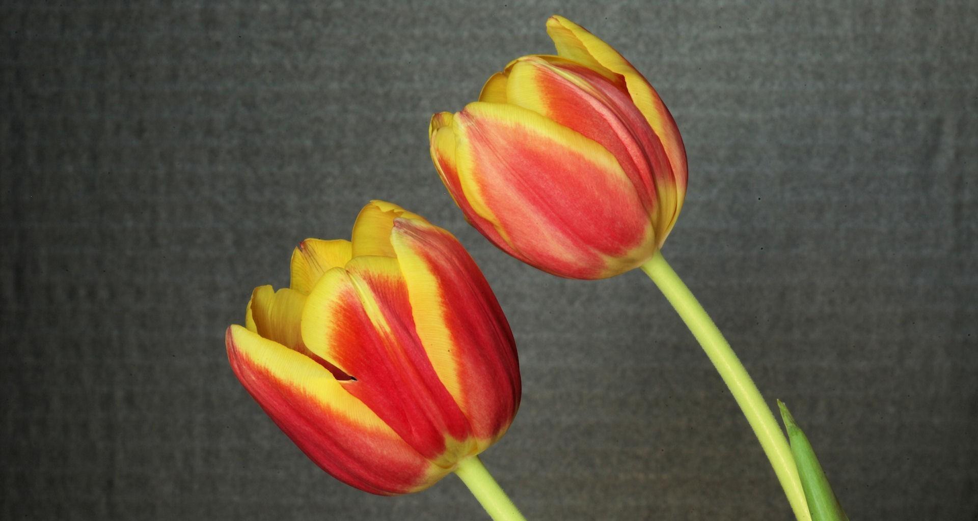 152663 скачать обои Цветы, Пара, Фон, Тюльпаны - заставки и картинки бесплатно