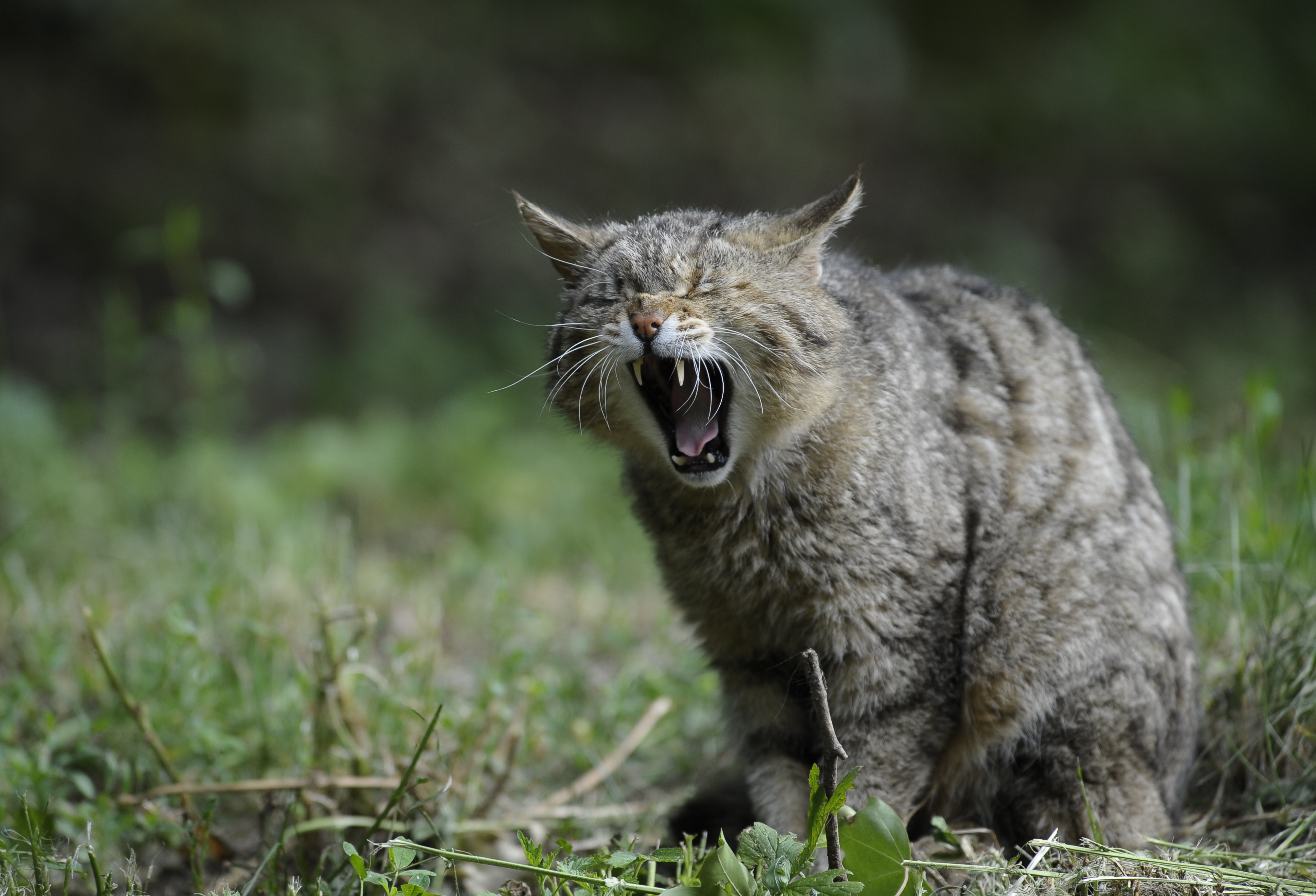 108028 download wallpaper Animals, Aggression, Wild Cat, Scream, Cry screensavers and pictures for free