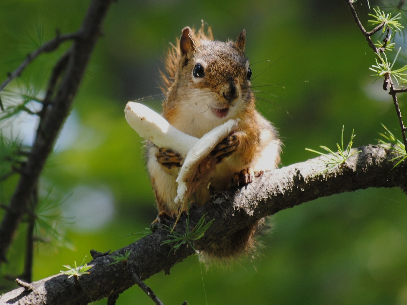 37626 download wallpaper Animals, Squirrel screensavers and pictures for free