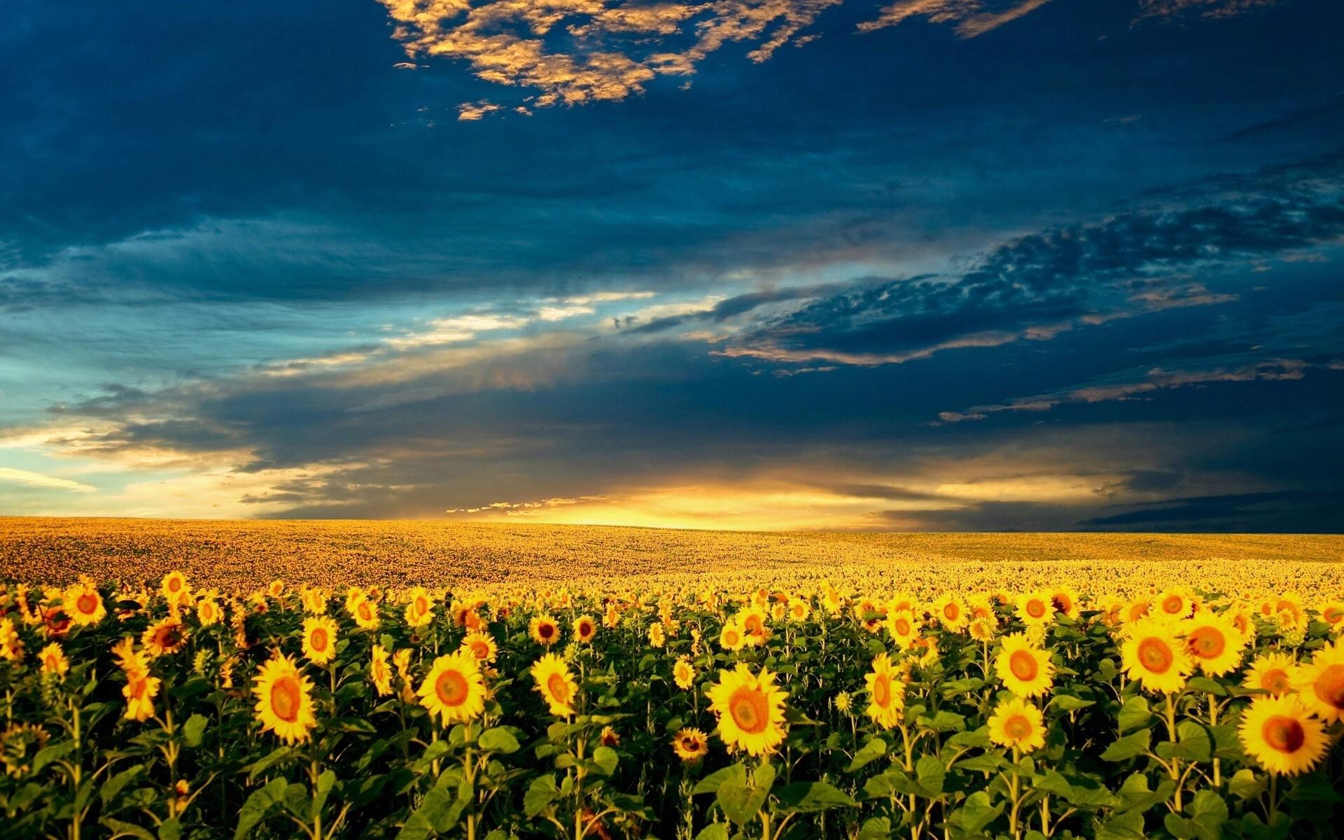 Скачать картинку Подсолнухи, Поля, Пейзаж, Природа в телефон бесплатно.