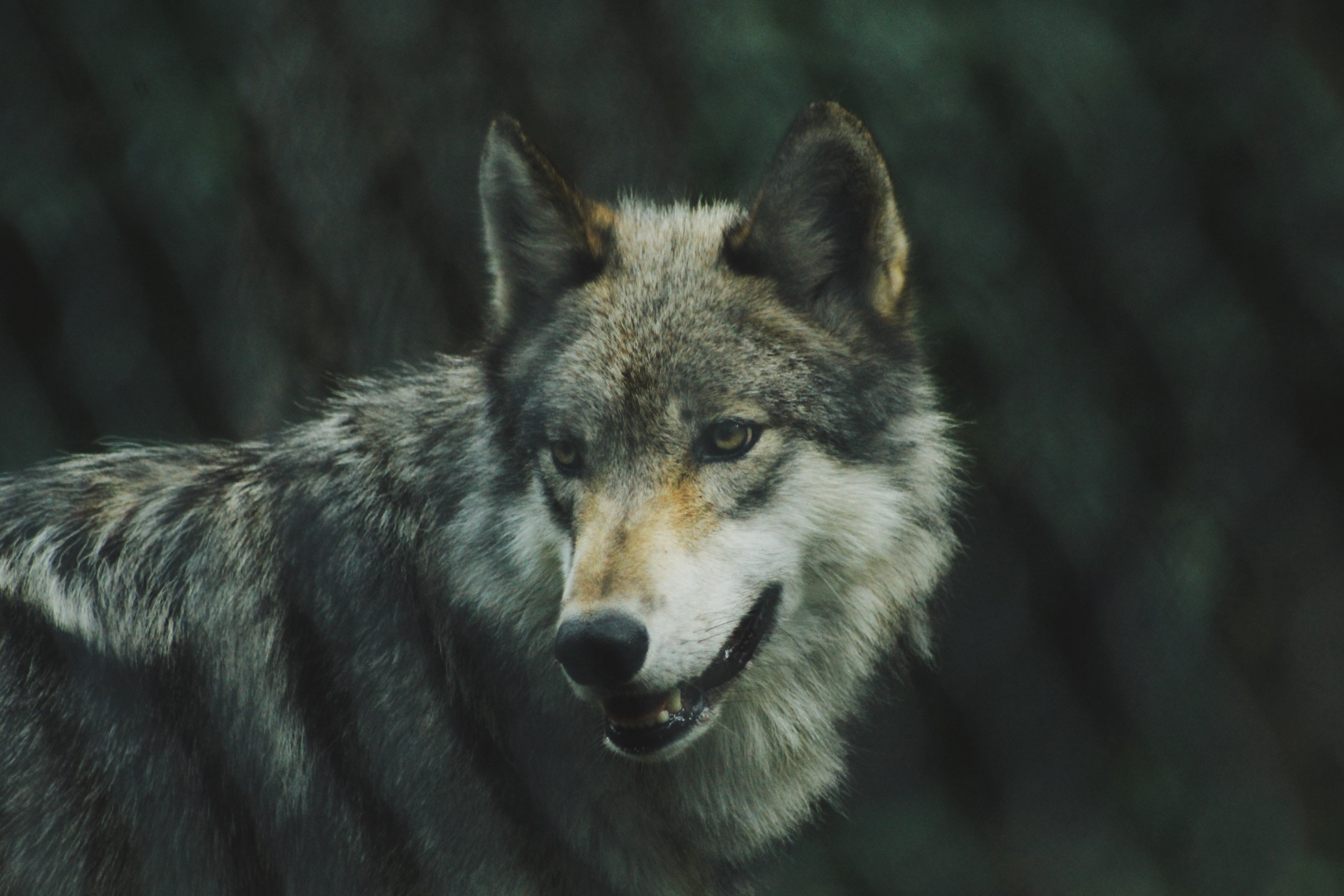 99447 download wallpaper Animals, Wolf, Predator, Dog, Sight, Opinion screensavers and pictures for free