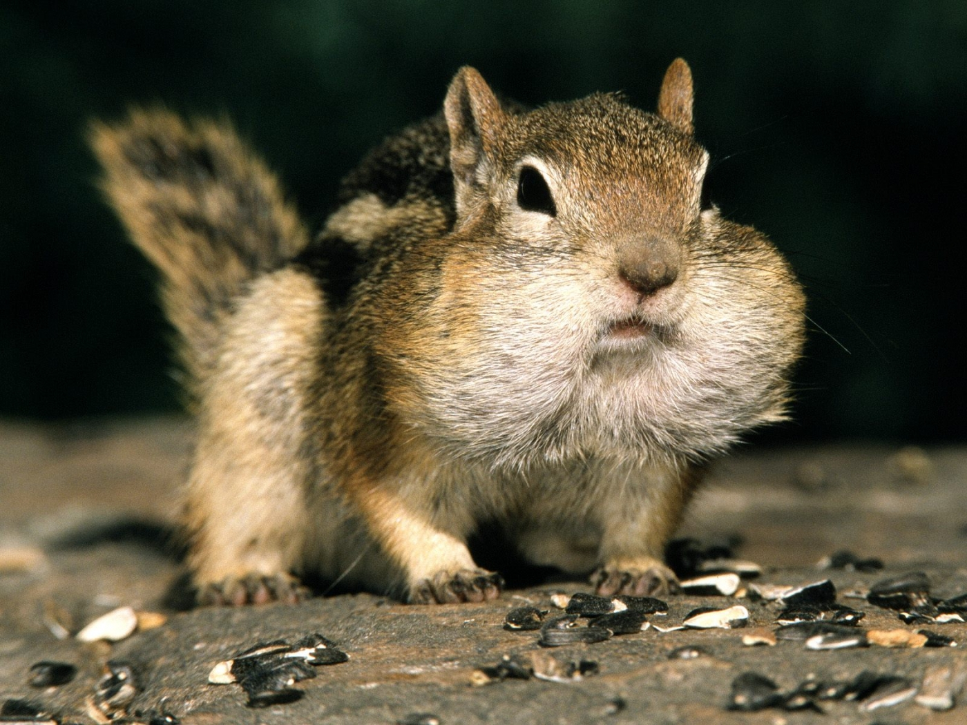 32221 Screensavers and Wallpapers Rodents for phone. Download Animals, Rodents, Chipmunks pictures for free