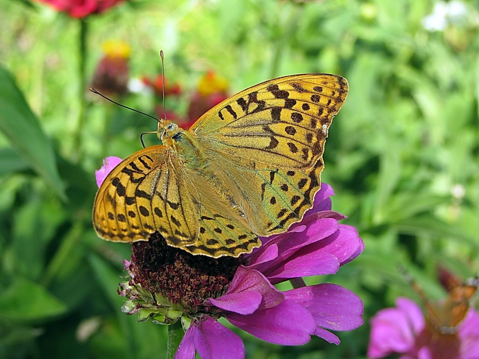 4766 скачать обои Бабочки, Насекомые - заставки и картинки бесплатно